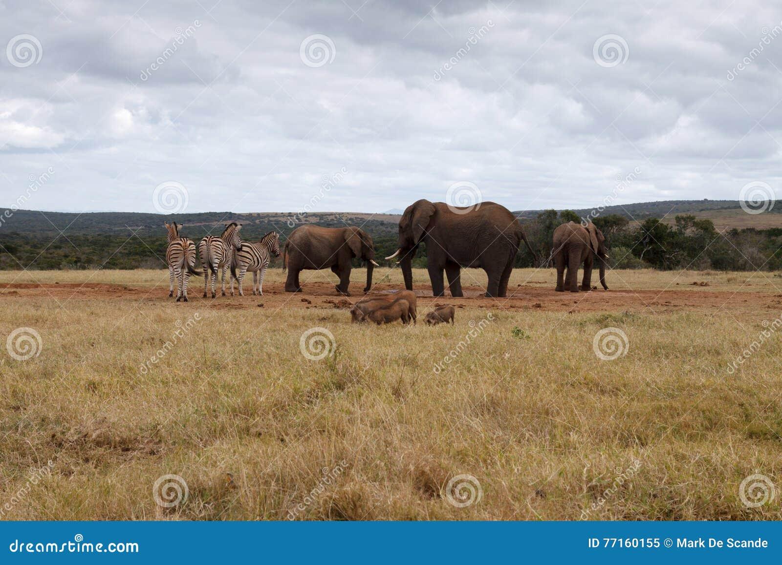 Éléphant de Bush d Africain assurant le trou d eau
