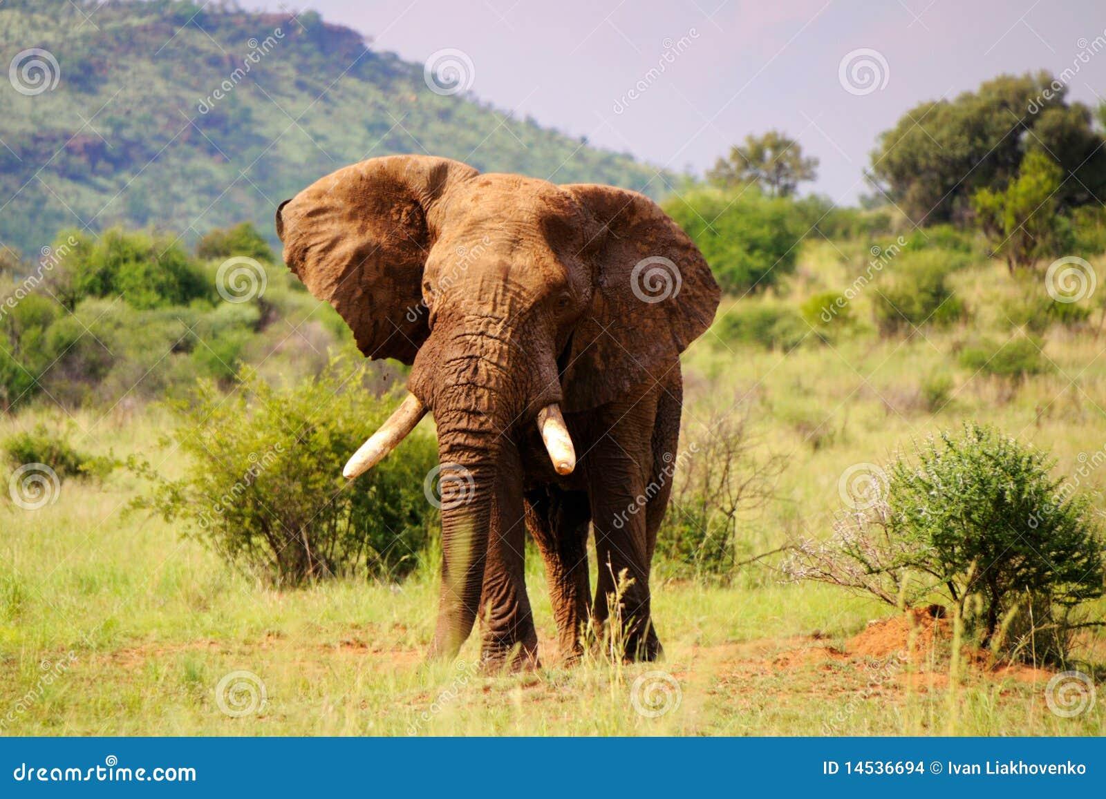 Éléphant de marche