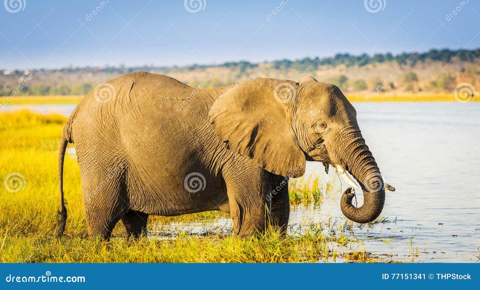 Éléphant de parc national de Chobe