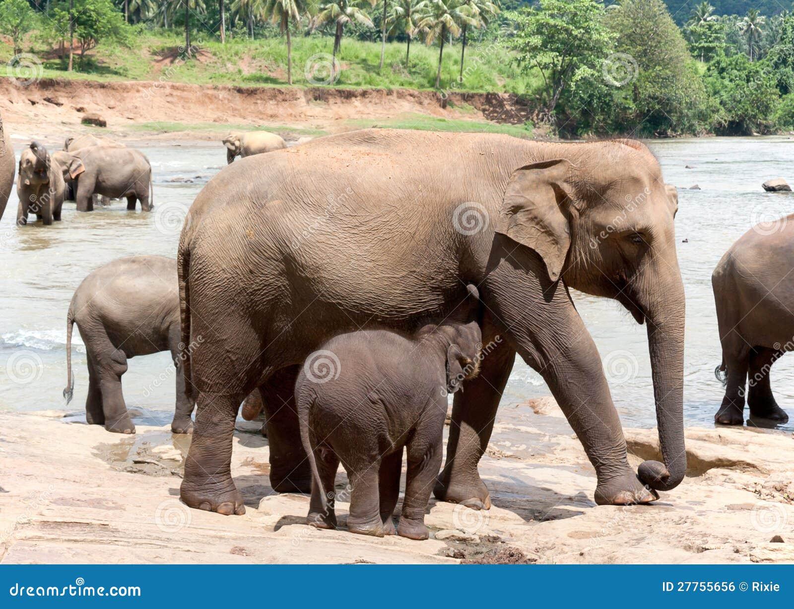 Éléphant et chéri de mère
