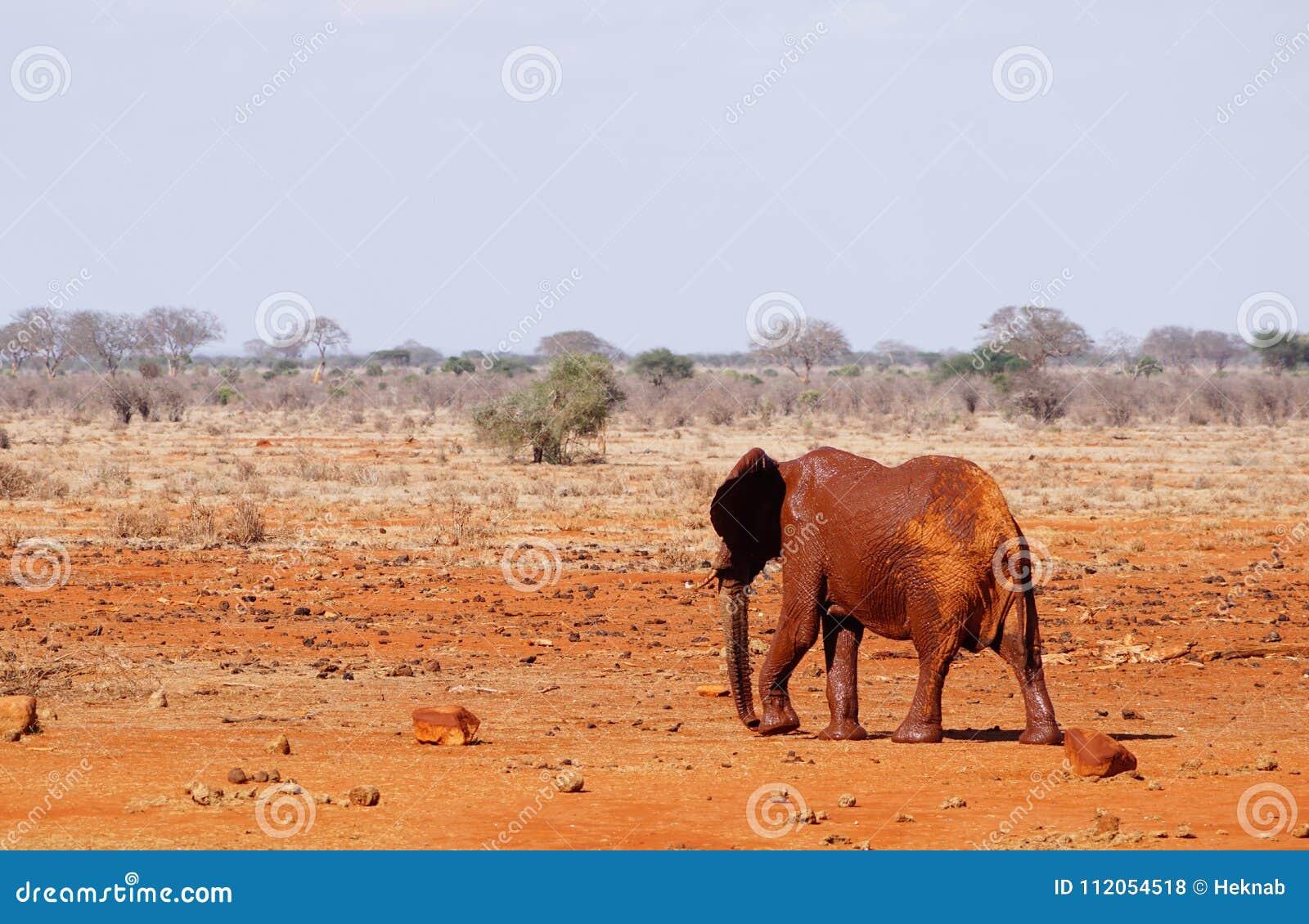éléphant habillé de boue au point d eau de Tsavo Kenya est