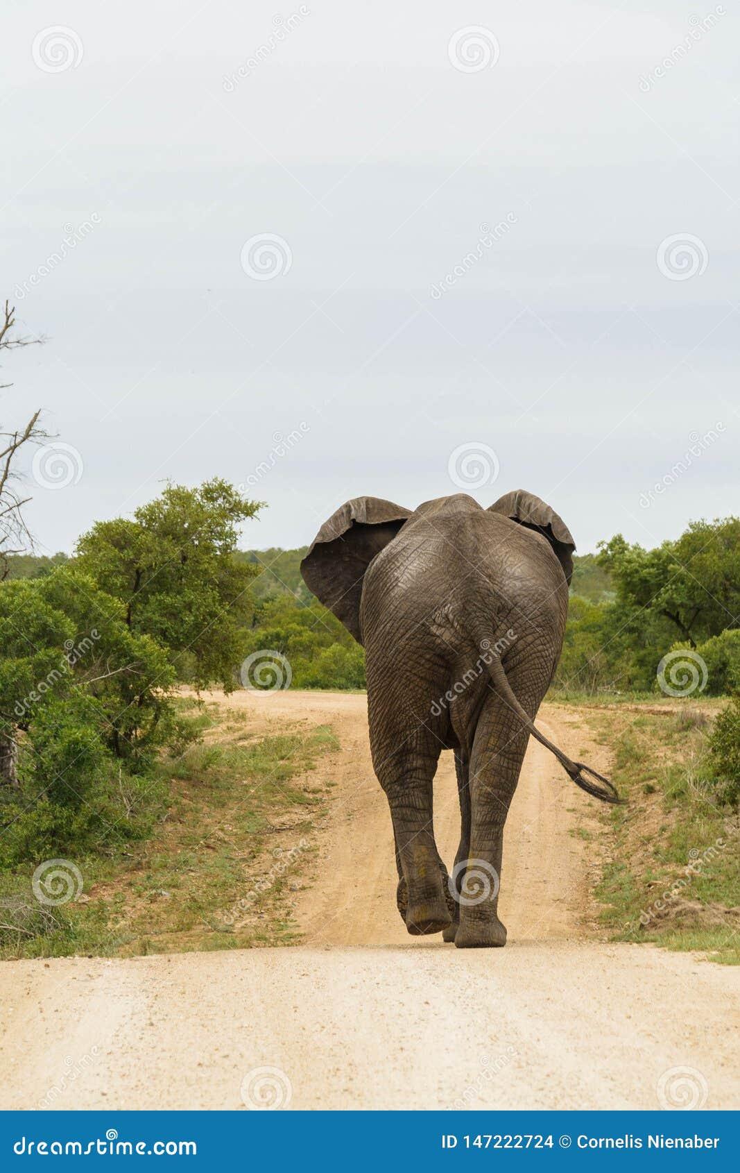Éléphant marchant loin sur un chemin de terre