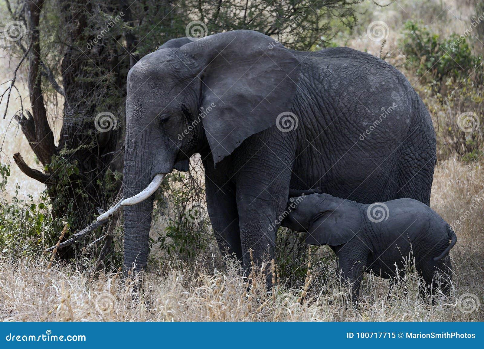 Éléphant minuscule de bébé alimentant de sa mère