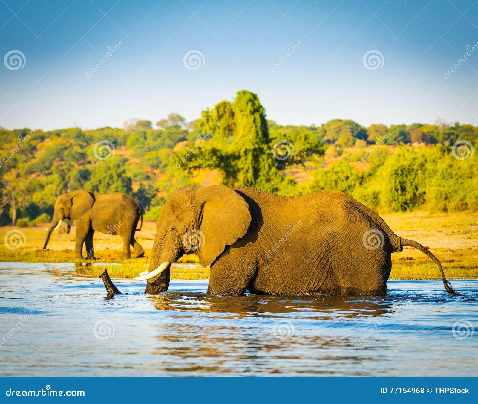 Éléphant pataugeant à travers la rivière Botswana de Chobe