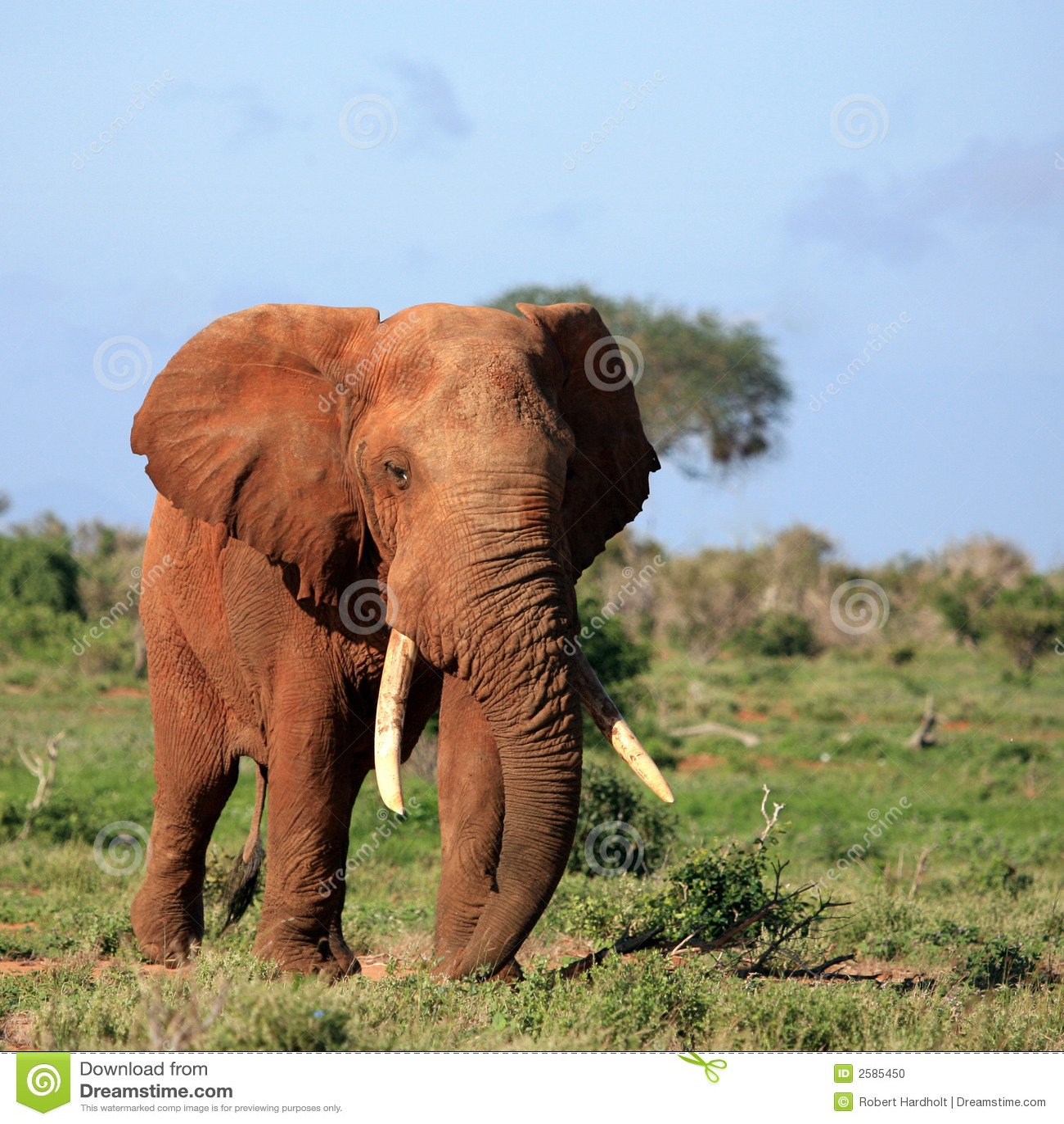 Éléphant rouge Tsavo Kenya est