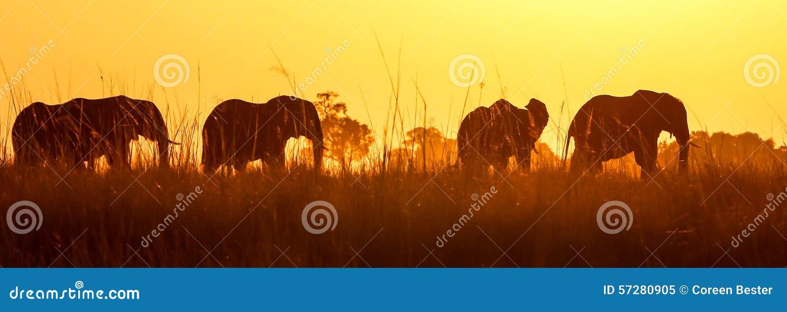 Éléphant sauvage africain au coucher du soleil dans Chobe