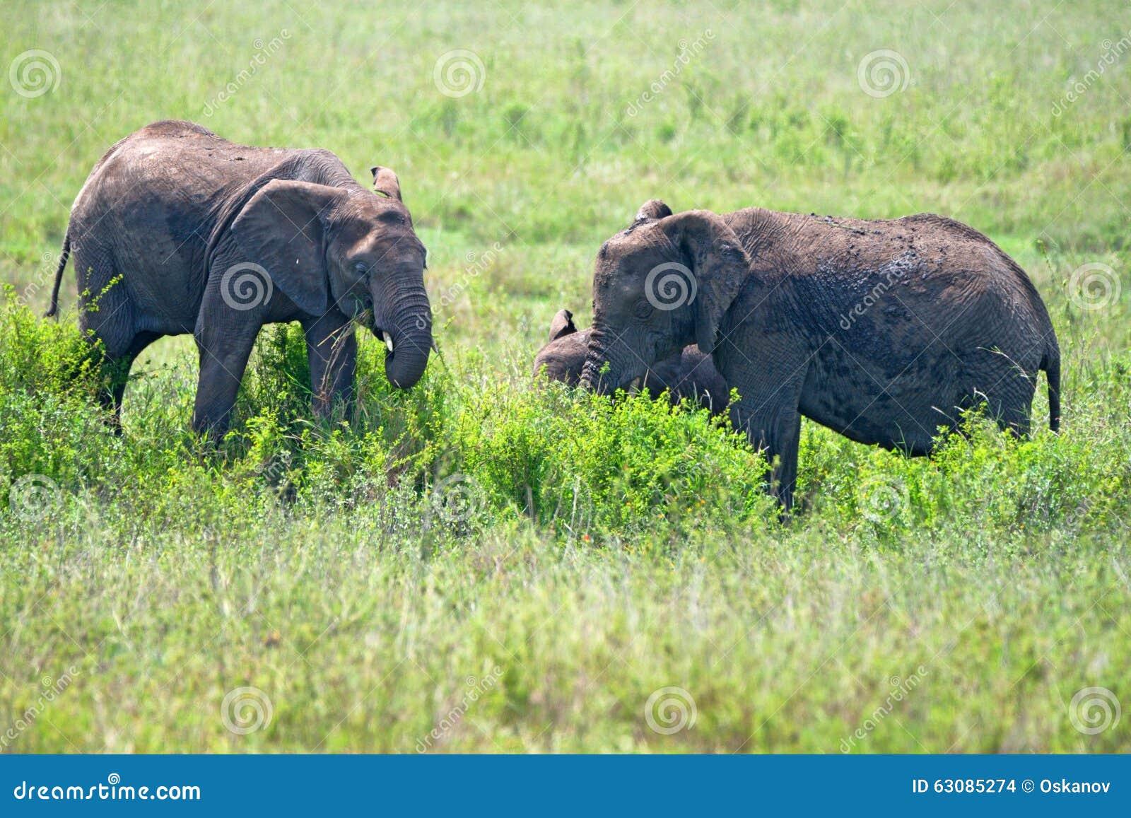 Download Éléphants africains photo stock. Image du kenya, femelle - 63085274