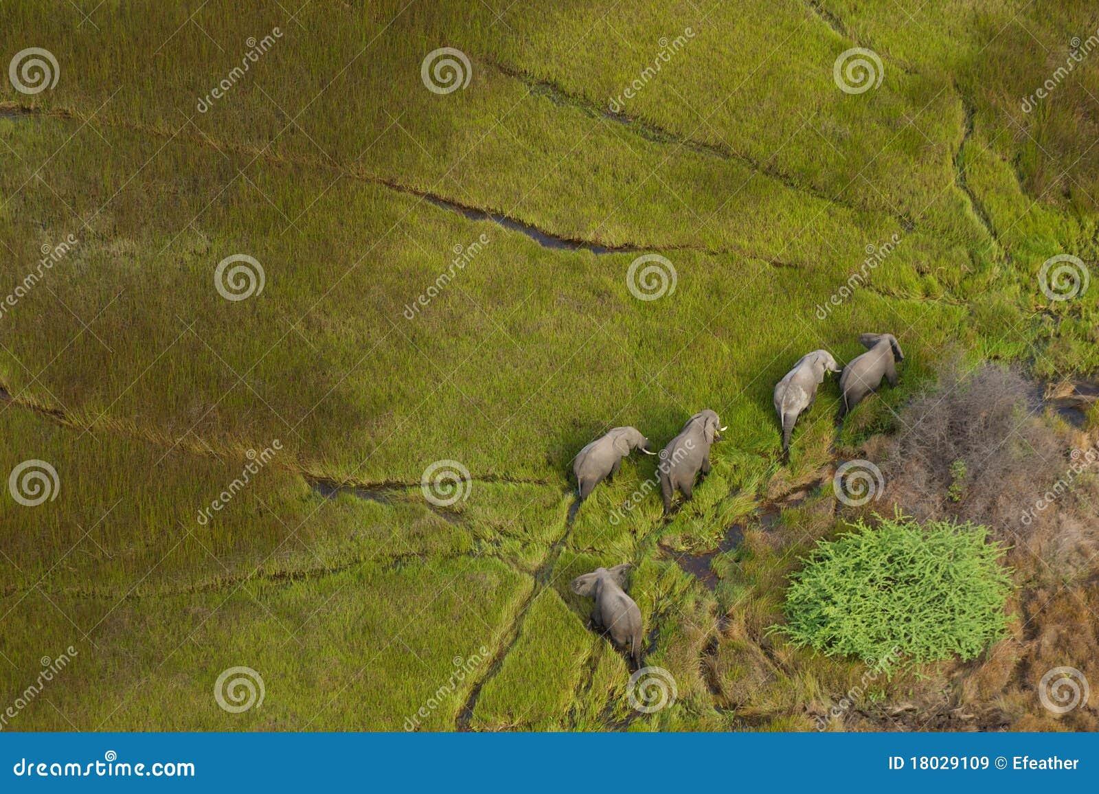 Éléphants dans le delta d Okavango