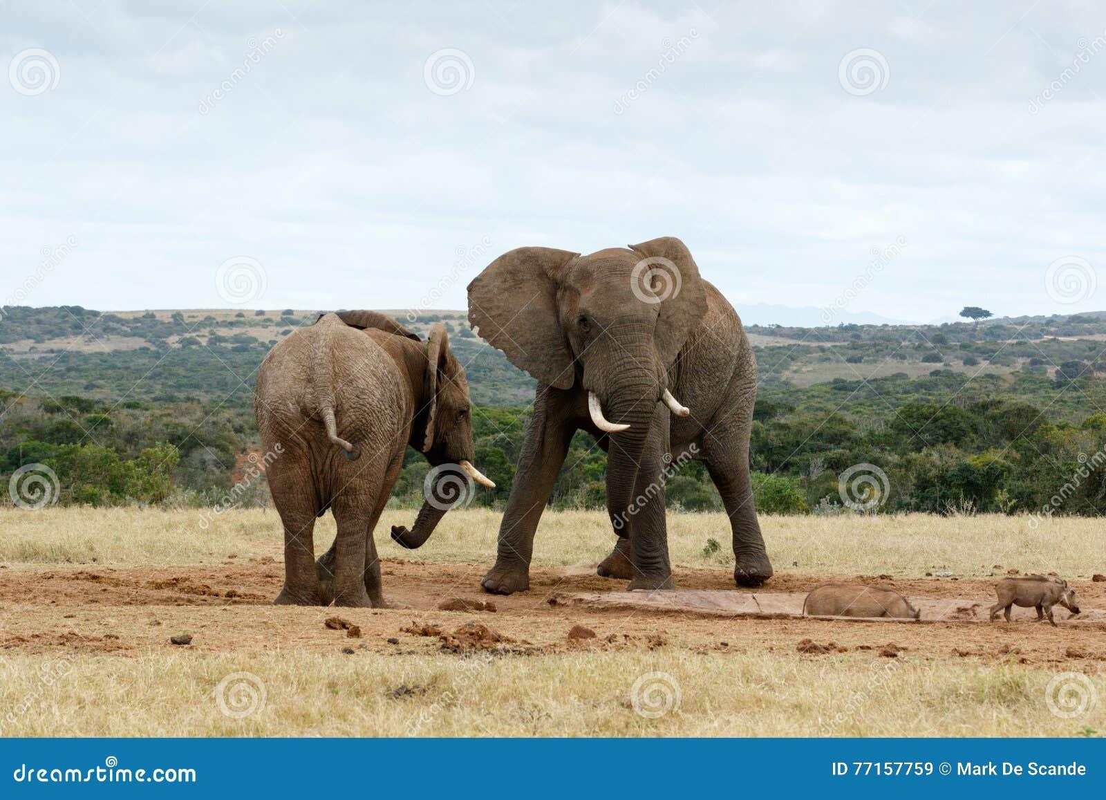 Éléphants de Bush d Africain d impasse