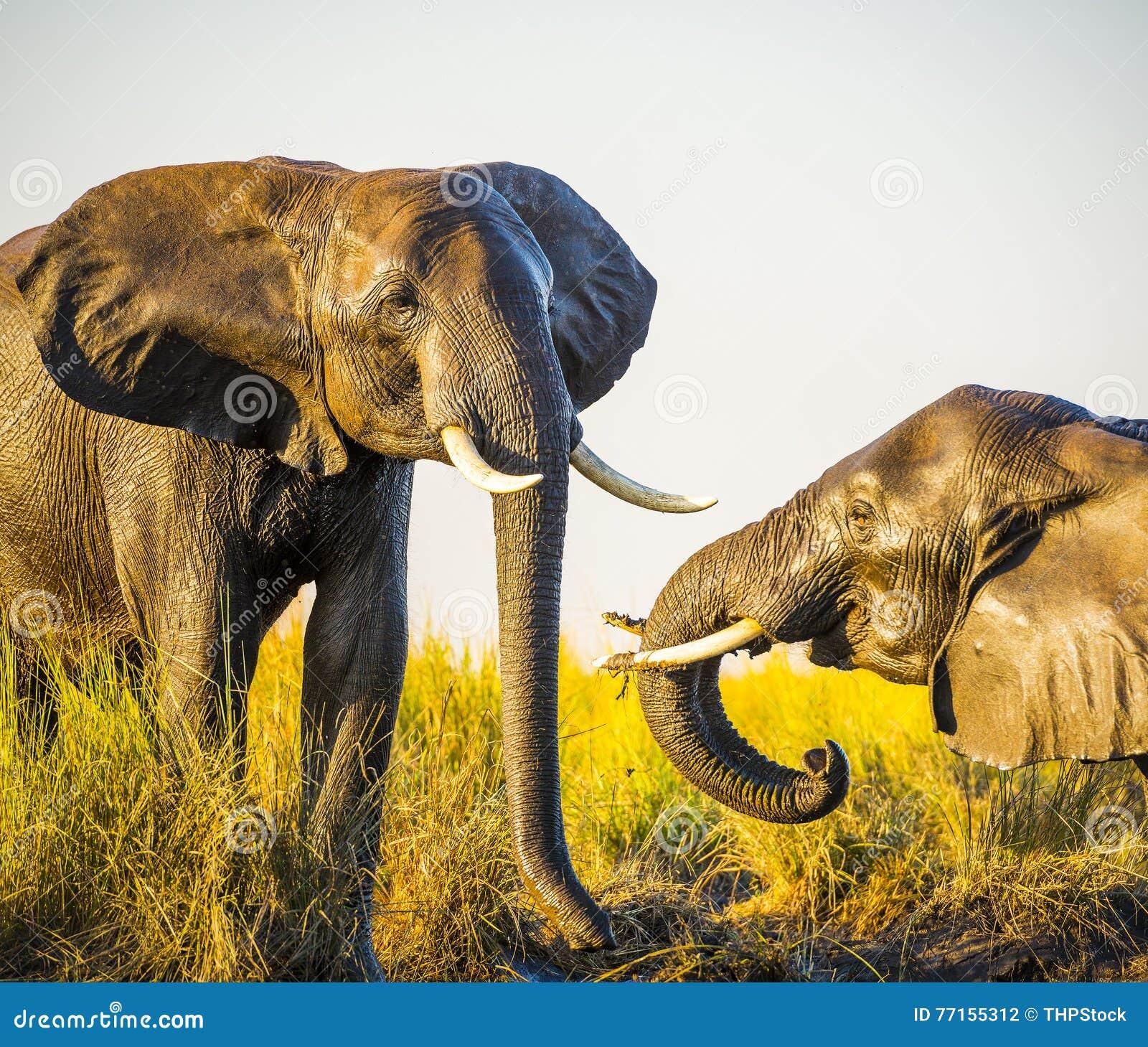 Éléphants jouant dans la boue