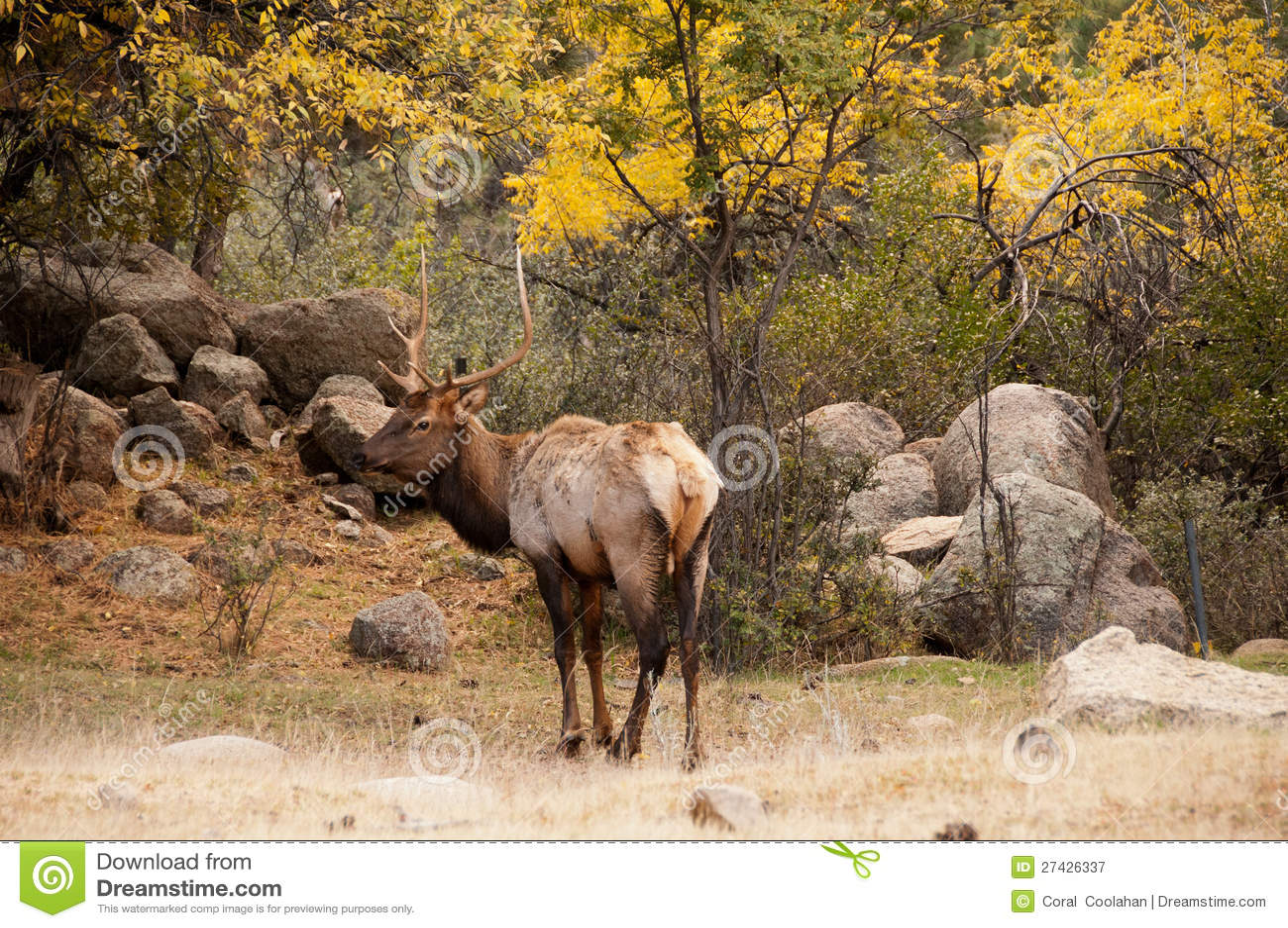 Élans de Bull