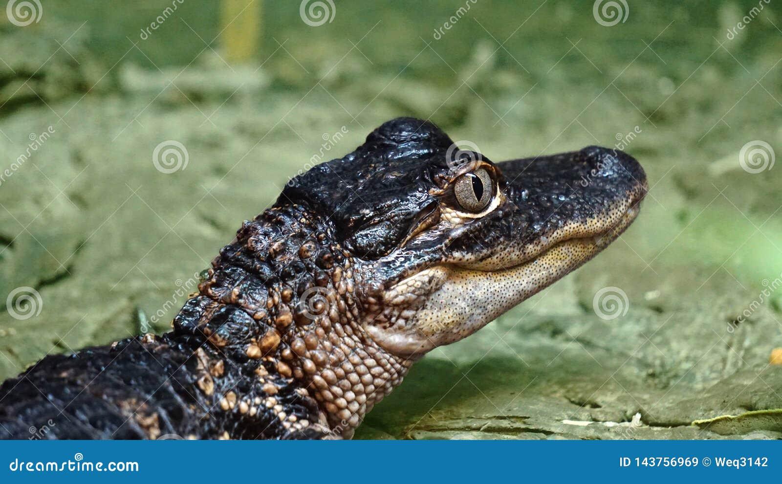 Élevage artificiel, non long, crocodile du Nil, petit crocodile