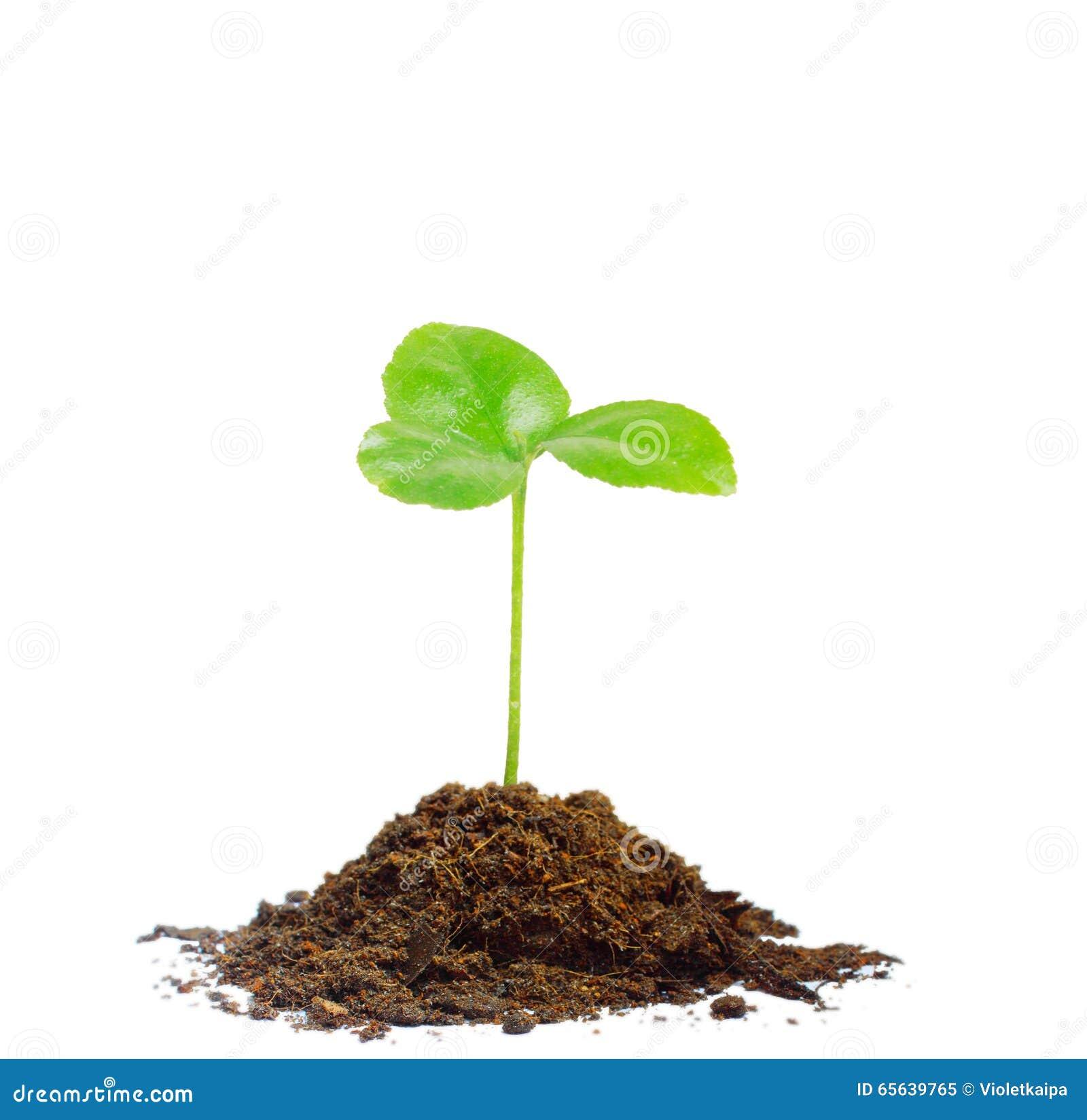 Élevage vert de pousse