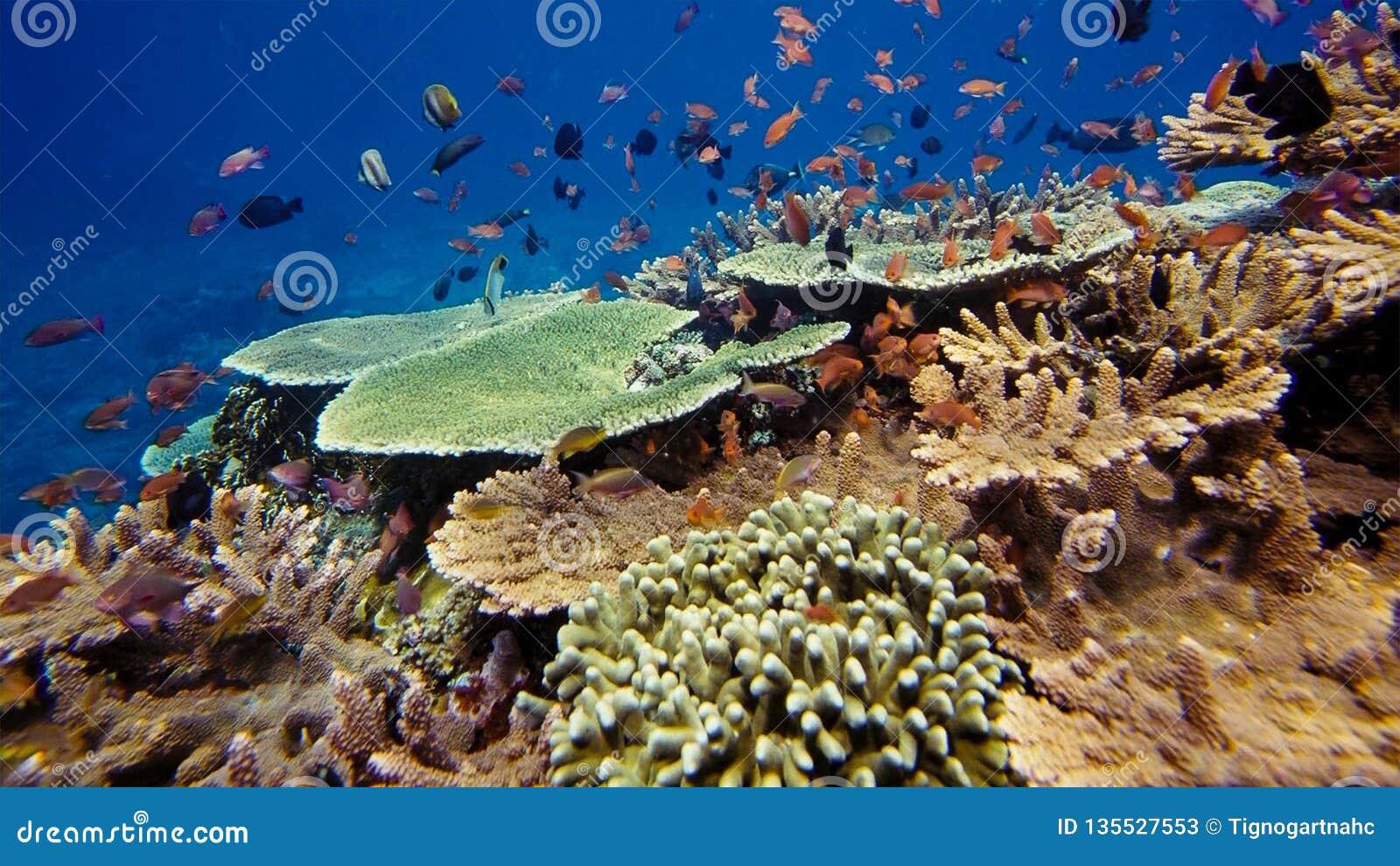 Émeute de la vie sous-marine Diversité de forme, couleurs fabuleuses des coraux mous et école colorée des poissons La Papouasie N
