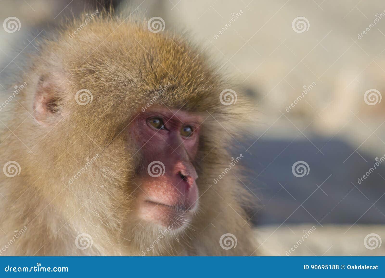 Émotions/expressions de singe de neige : Souci