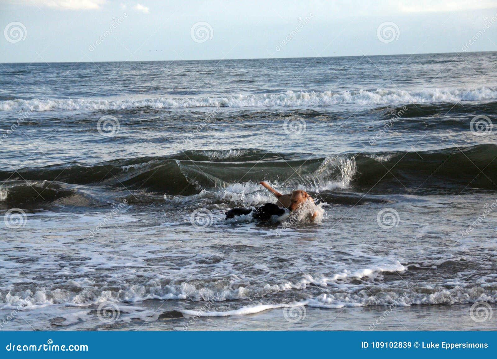 Épagneul de Boykin et laboratoire jaune jouant dans l océan comme ils fonctionnent à partir d une grande vague à la plage en Char