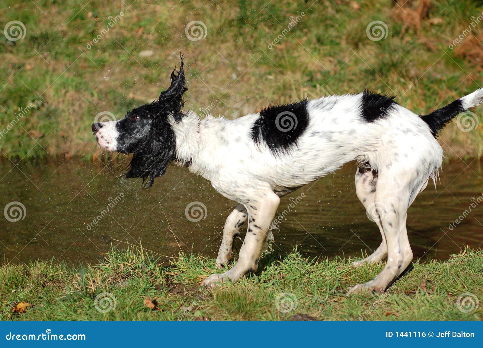 Épagneul de sauteur anglais secouant outre de l eau
