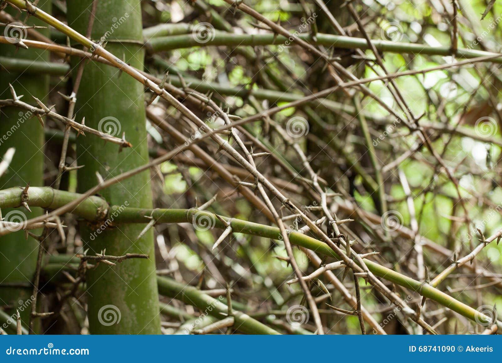 Épine en bambou photo stock. Image du décoration, jardin - 68741090