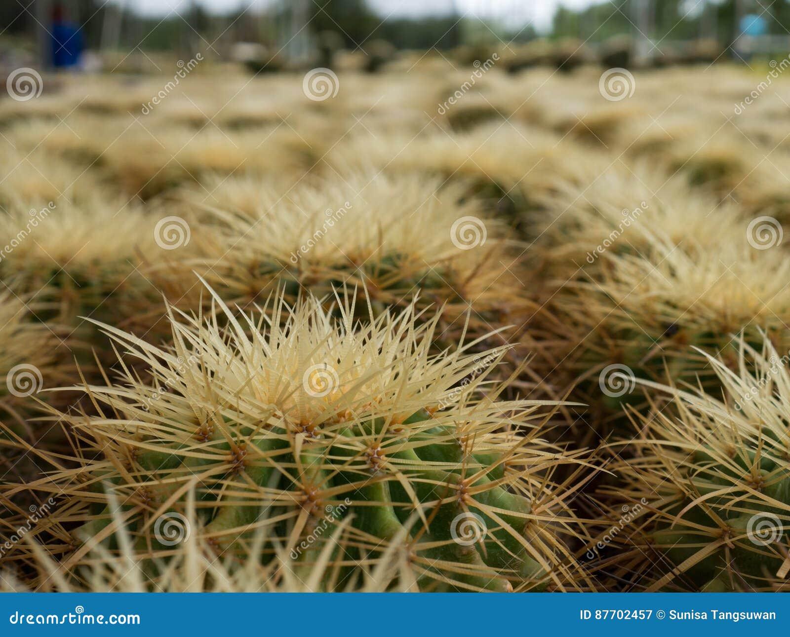 Épine et fleur de cactus