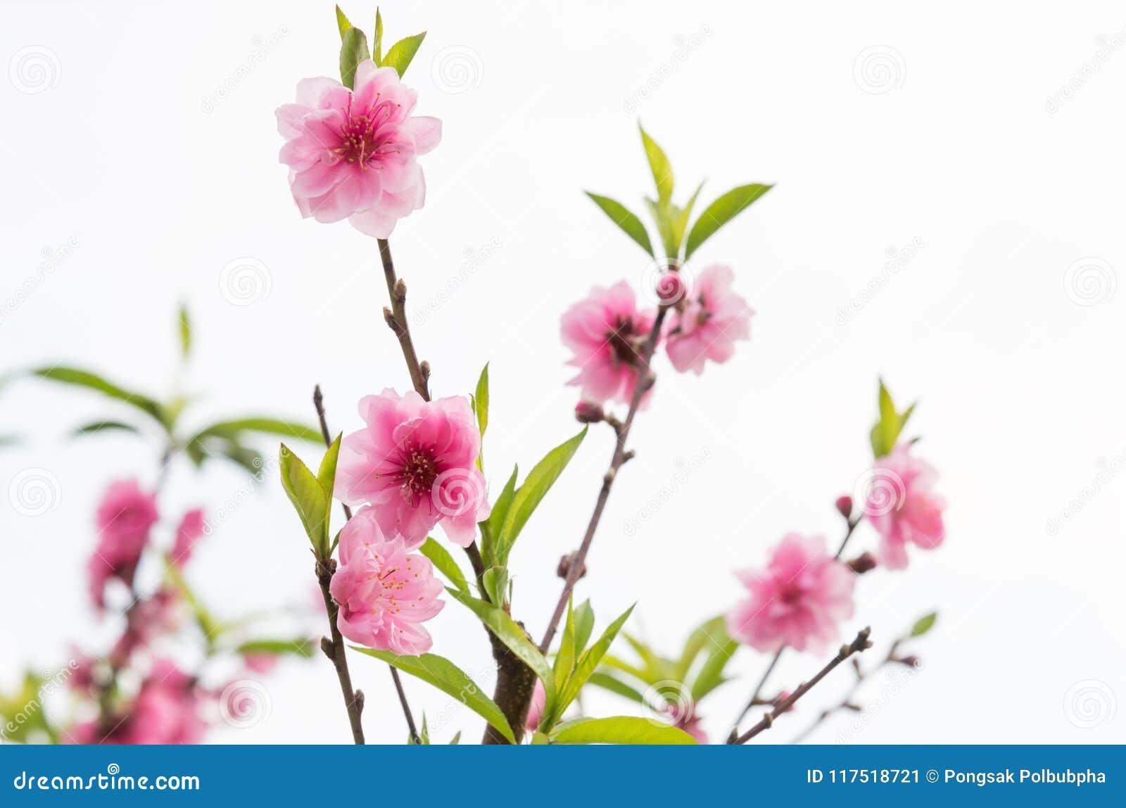 época Floreciente Del árbol De La Flor De Cerezo Imagen De Archivo