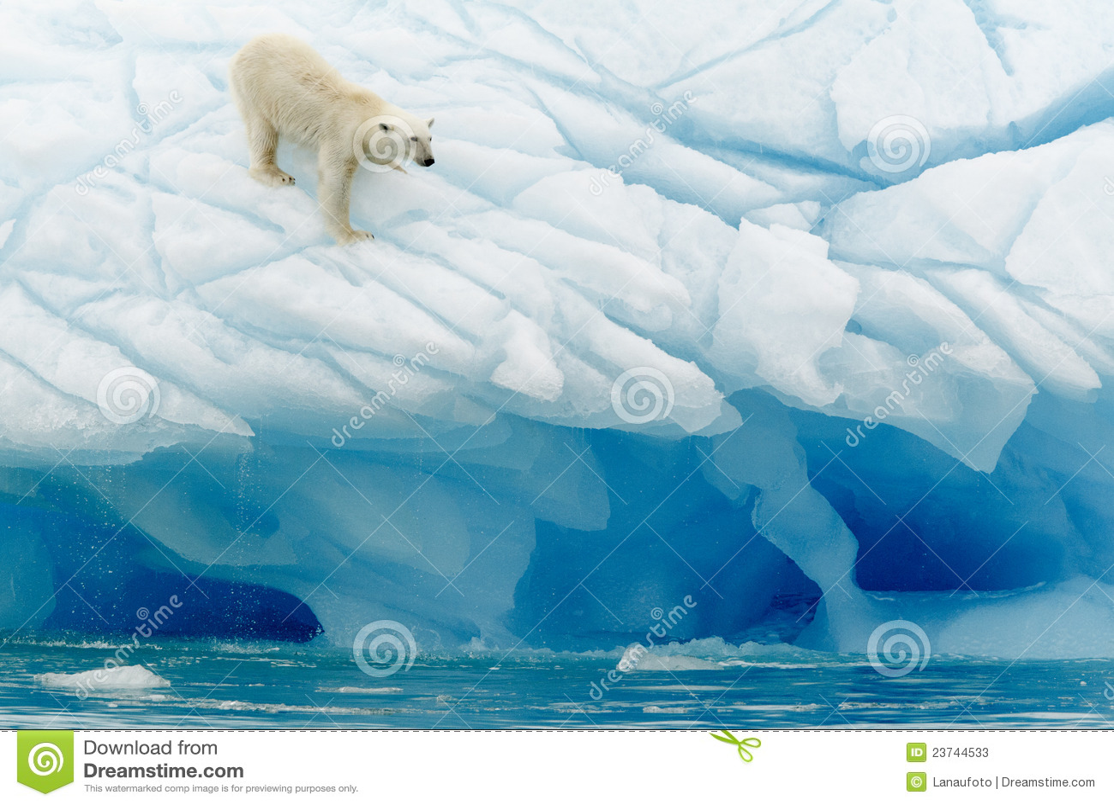 Équilibrage d ours blanc