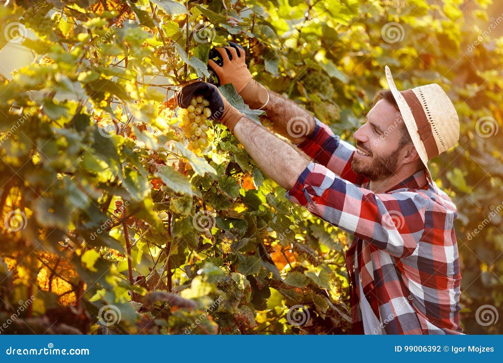 Équipez la moissonneuse coupant le groupe de raisins dans le vignoble