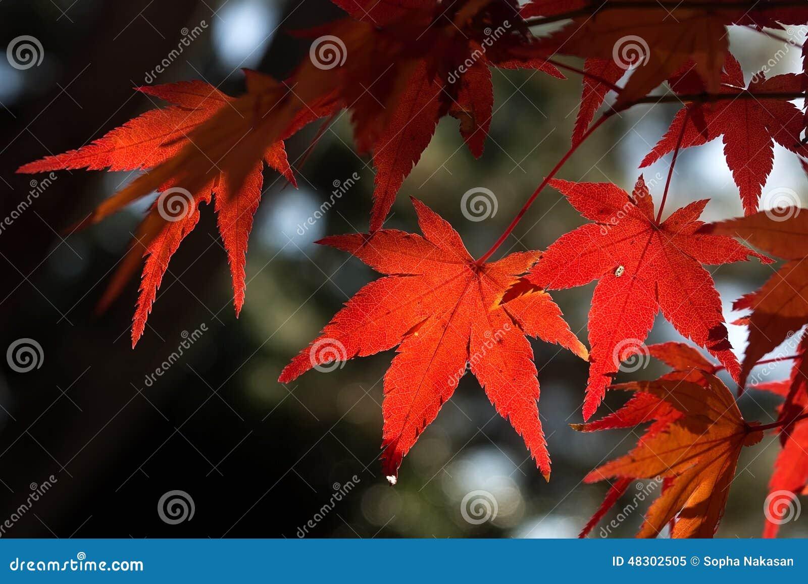 Érable rouge au JAPON