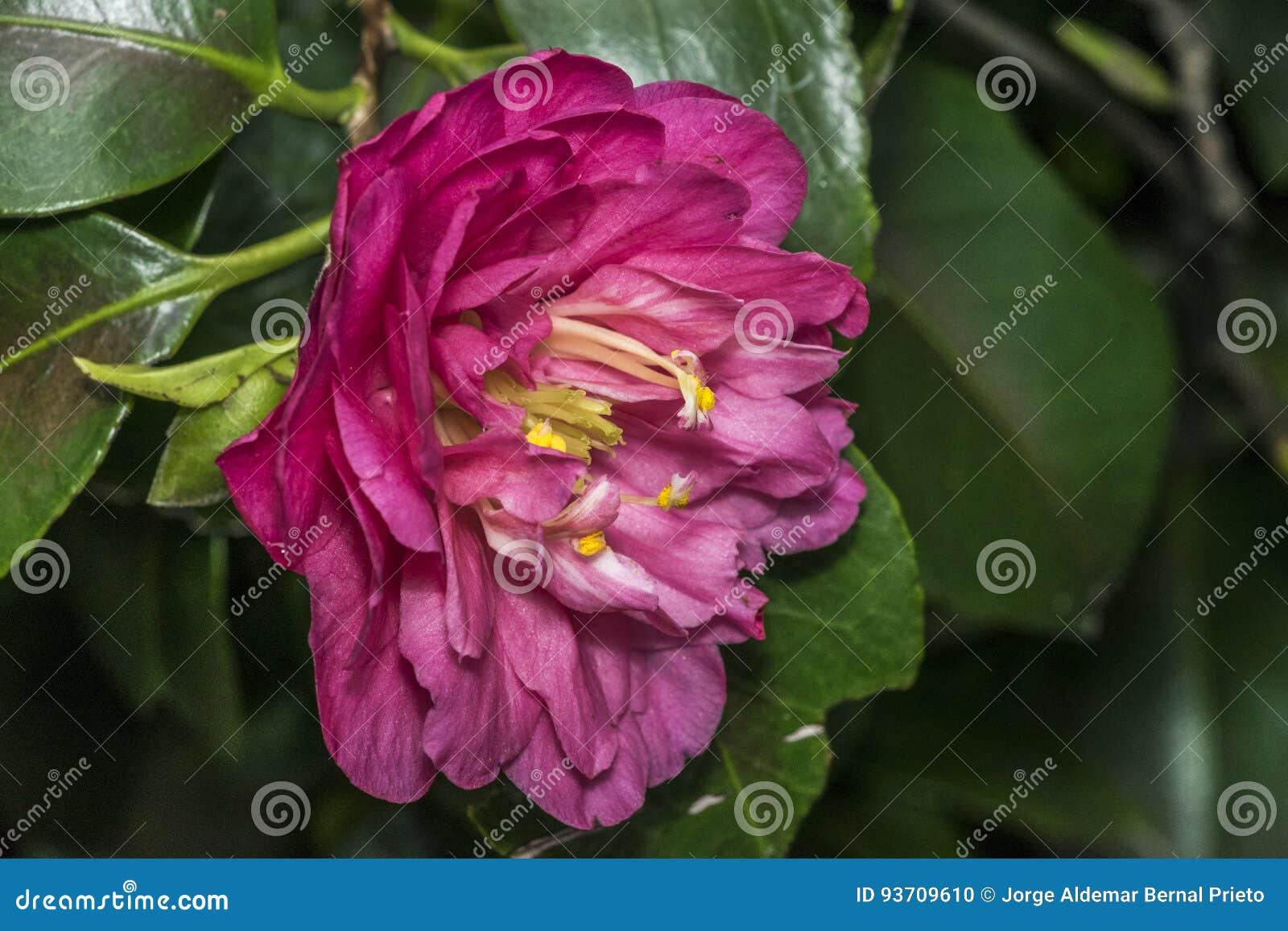 Étamine jaune sur la fleur rose photo stock - image: 93709610