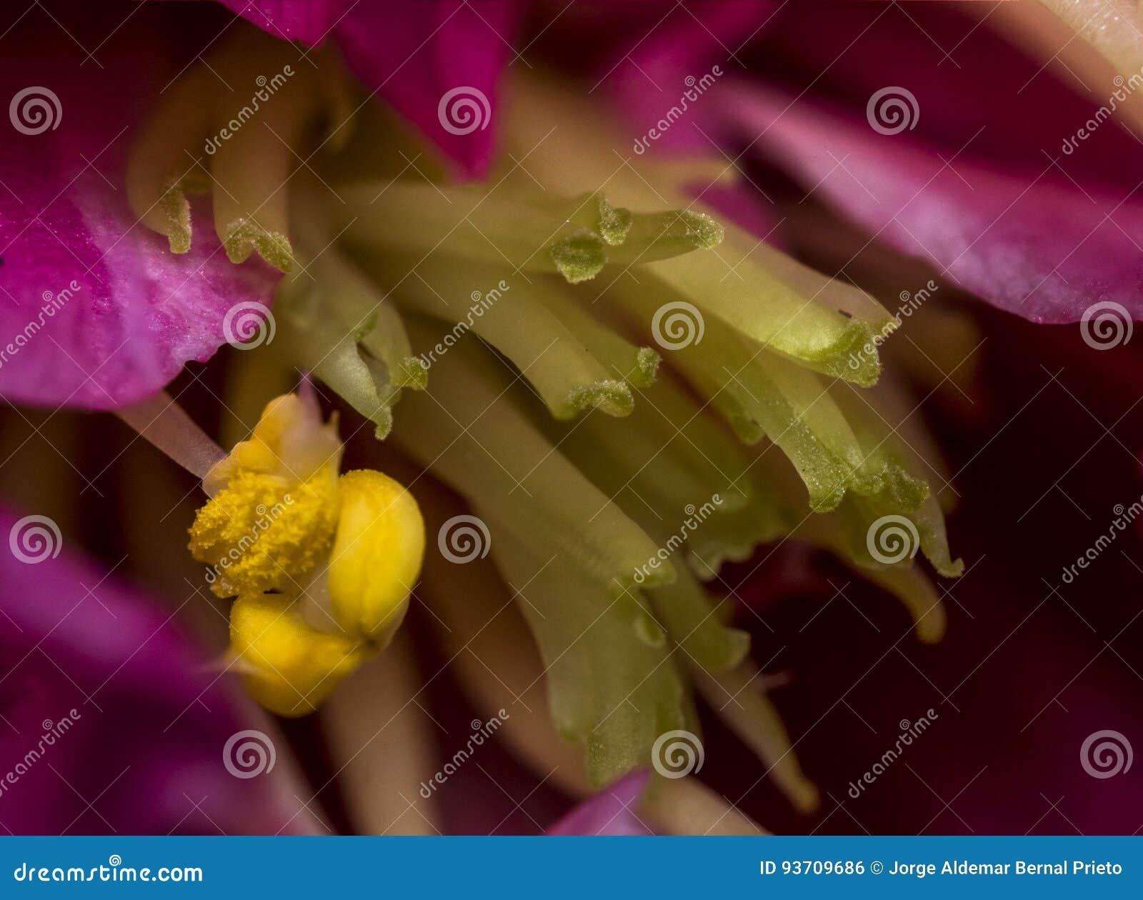 Étamine jaune sur la fleur rose photo stock - image: 93709686