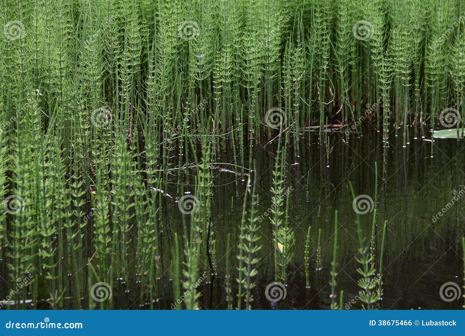 plante aquatique etang