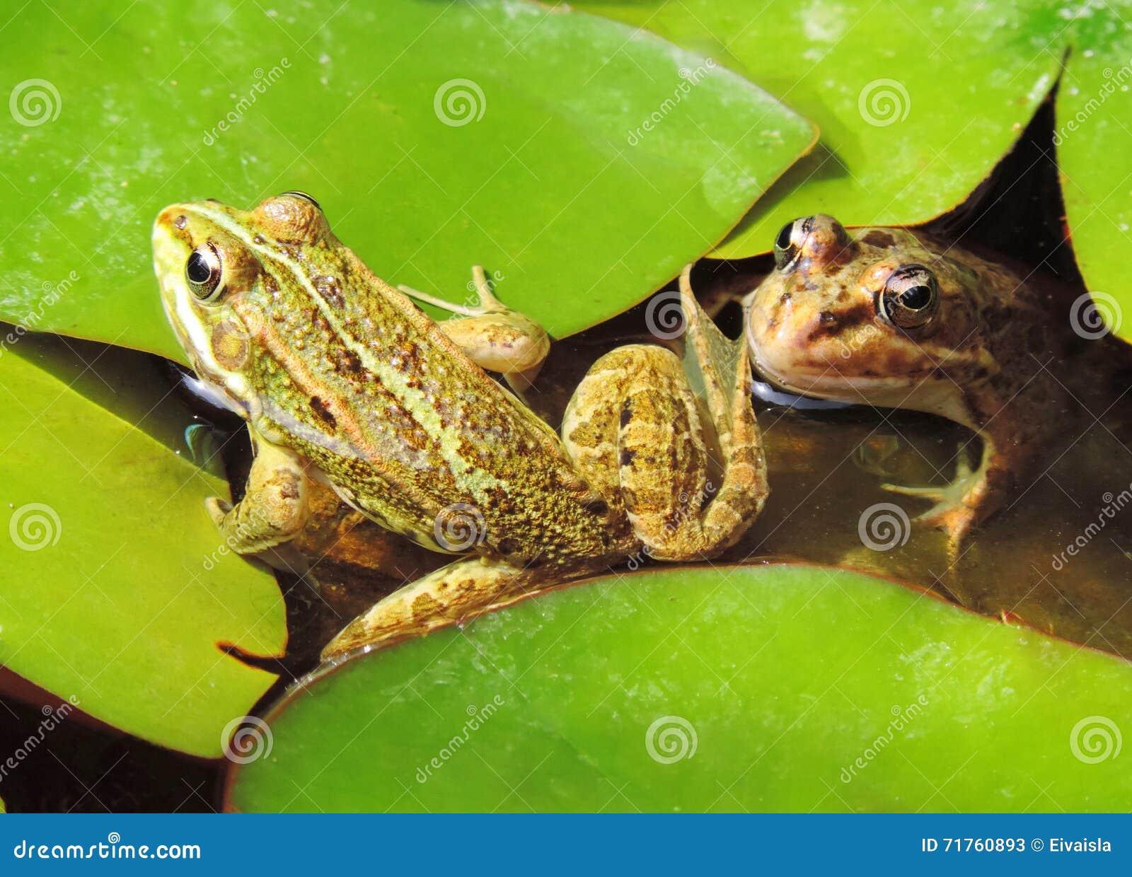 Étang de grenouille