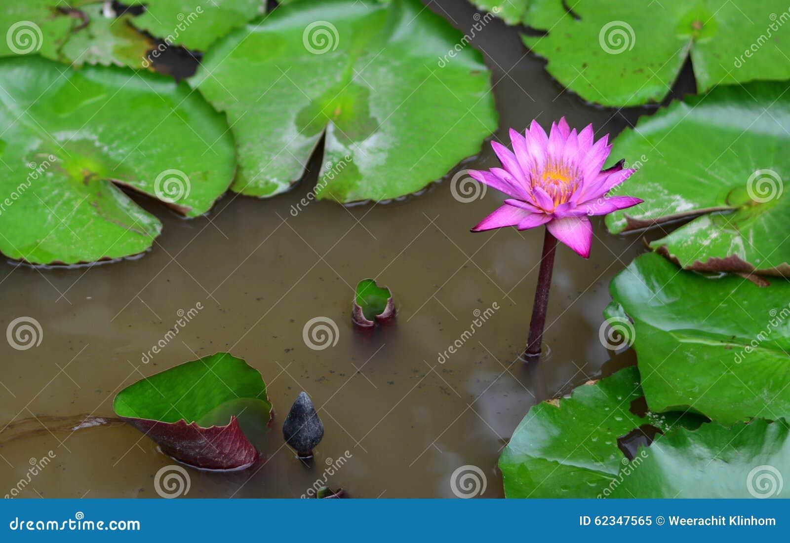 Étang de lotus de floraison trouble