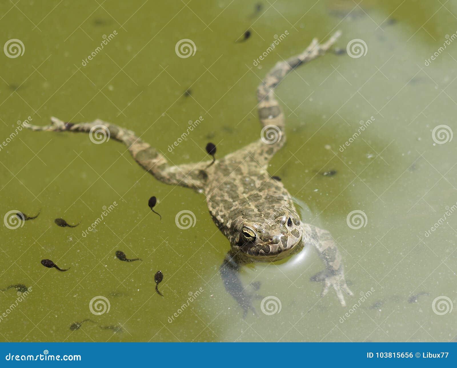 Étang de natation de grenouille