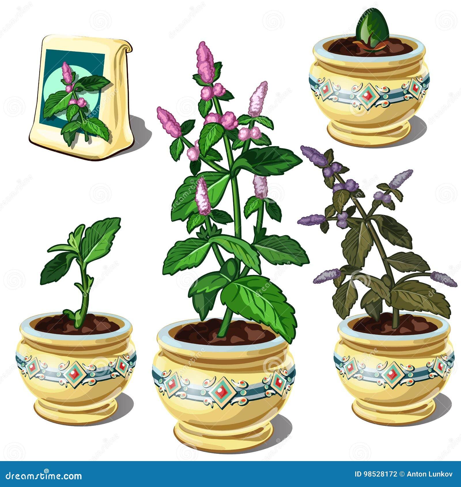 Plant De Menthe En Pot Étapes de croissance de menthe dans le pot illustration de