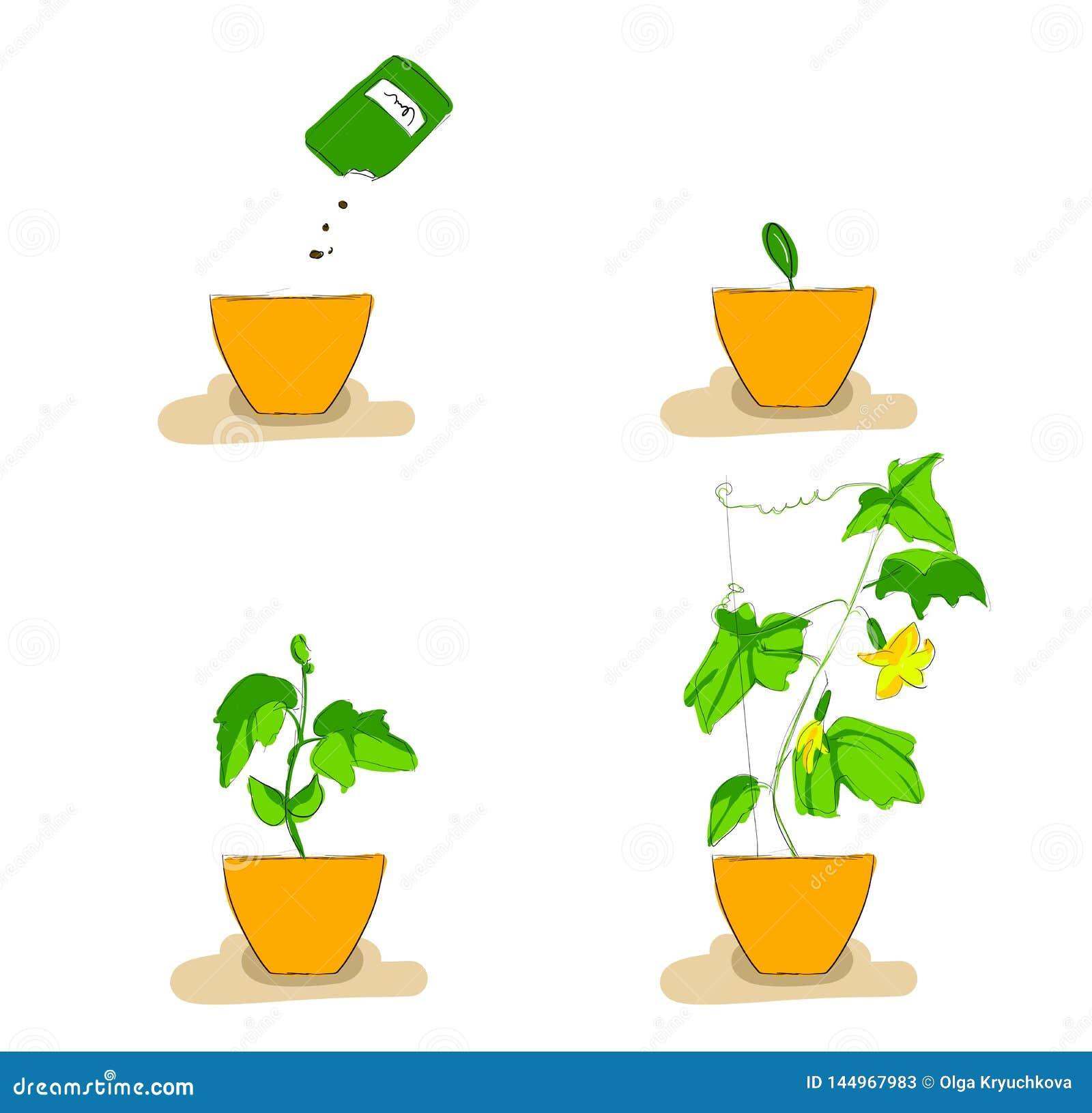 Étapes de croissance des jeunes plantes de concombre