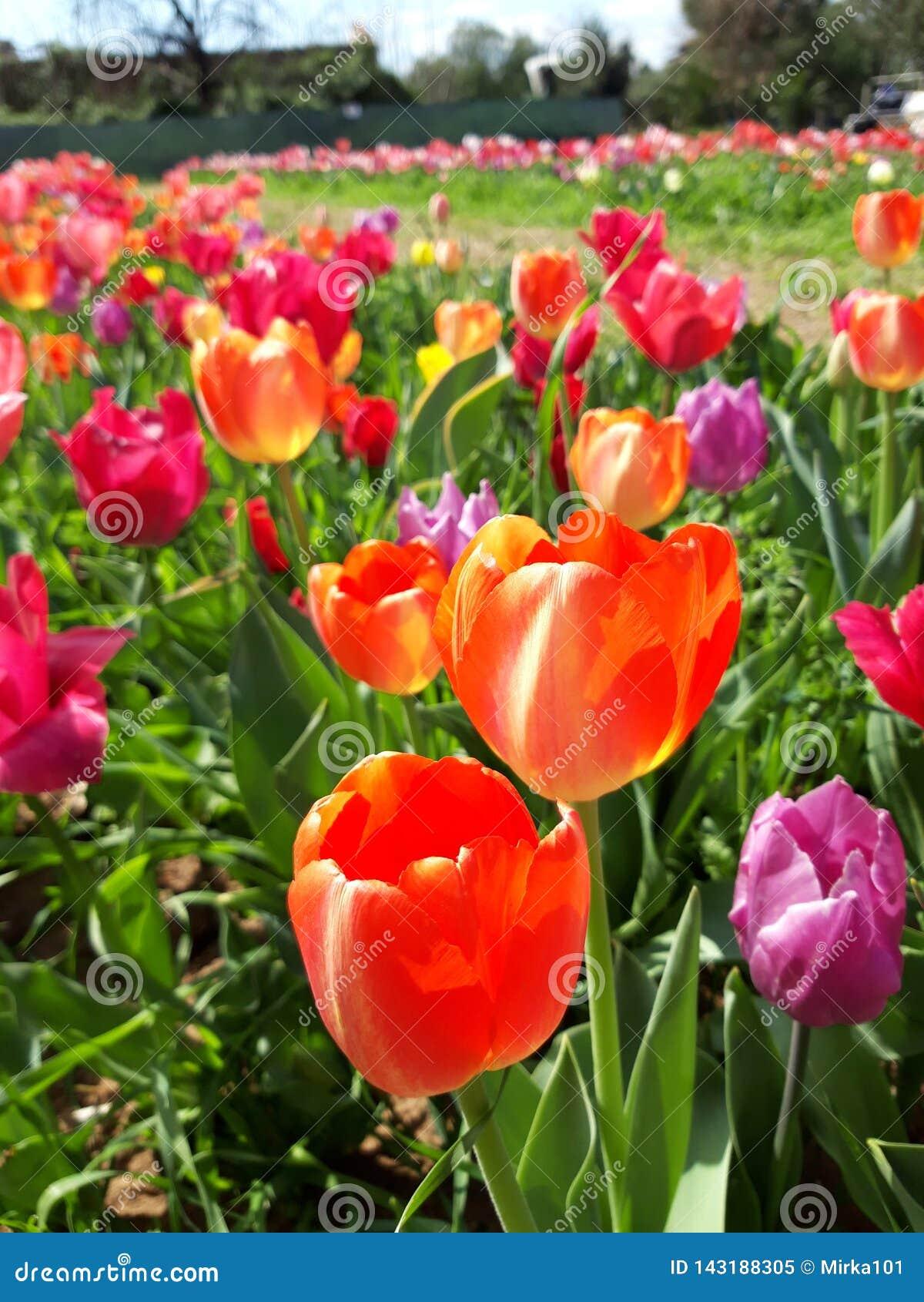 Étendue de pré coloré de tulipes au printemps Beau jour ensoleillé de mars Mille couleurs des tulipes néerlandaises