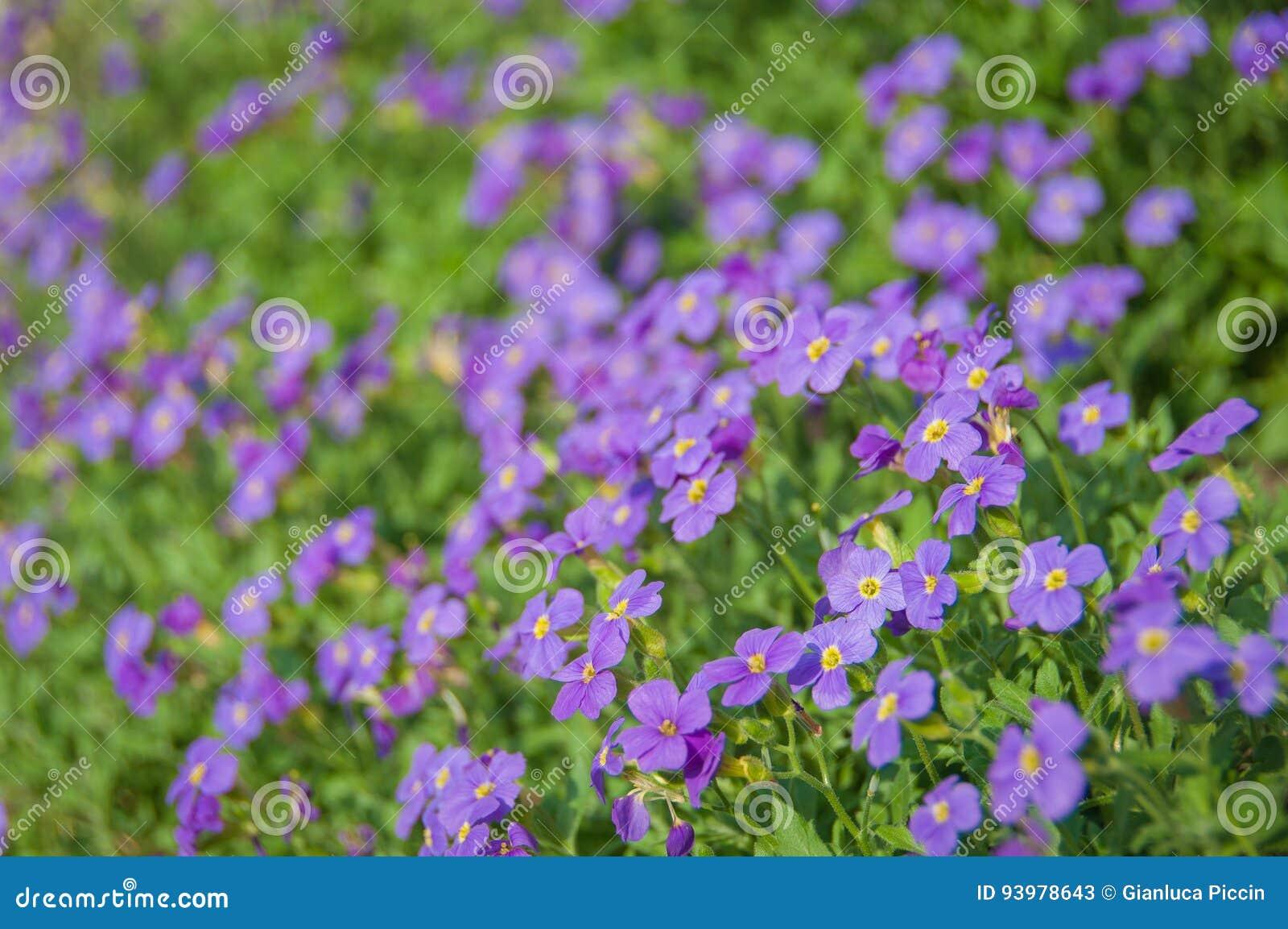 Étendue violette