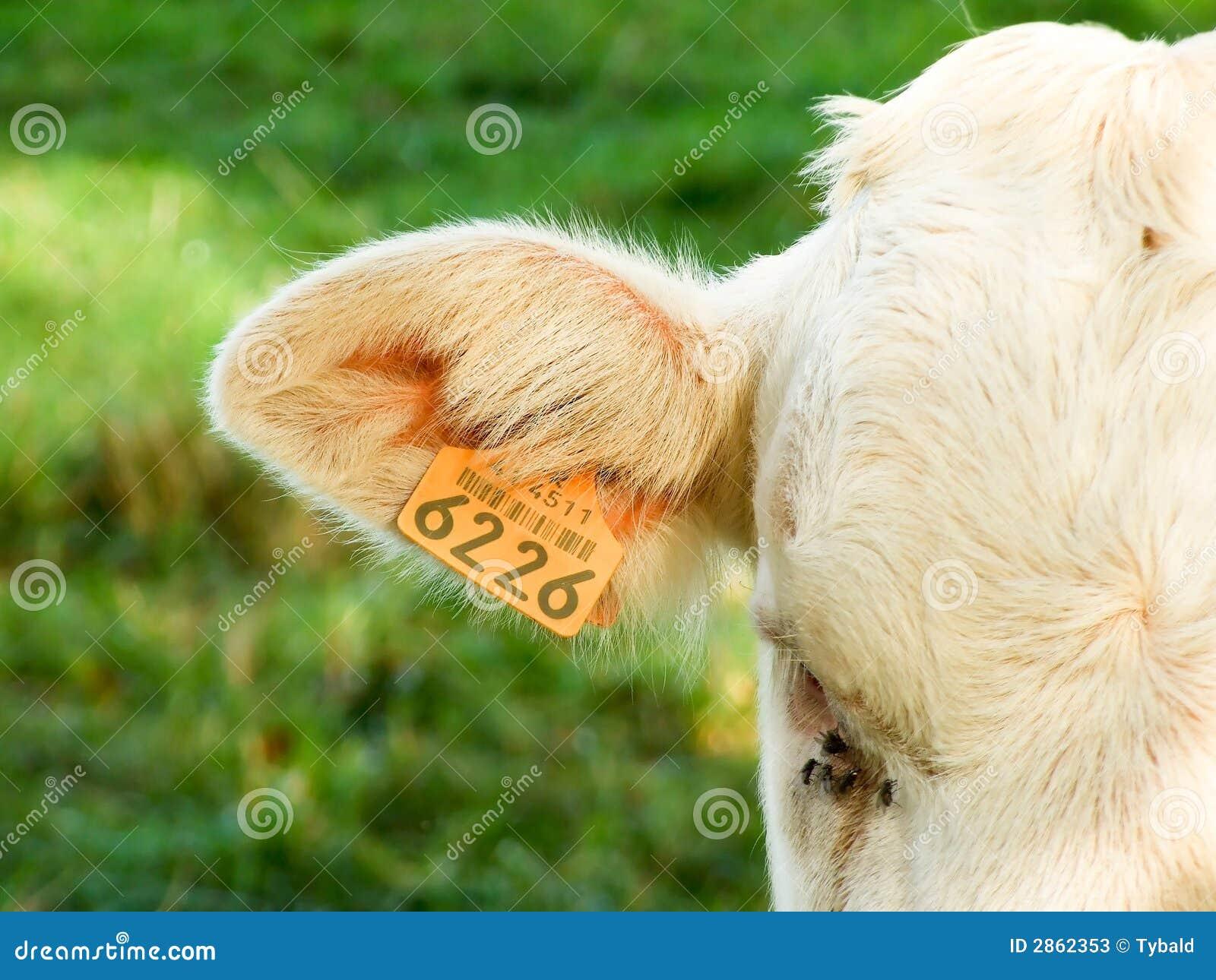 Étiquette Sur L'oreille D'une Vache Image stock Image