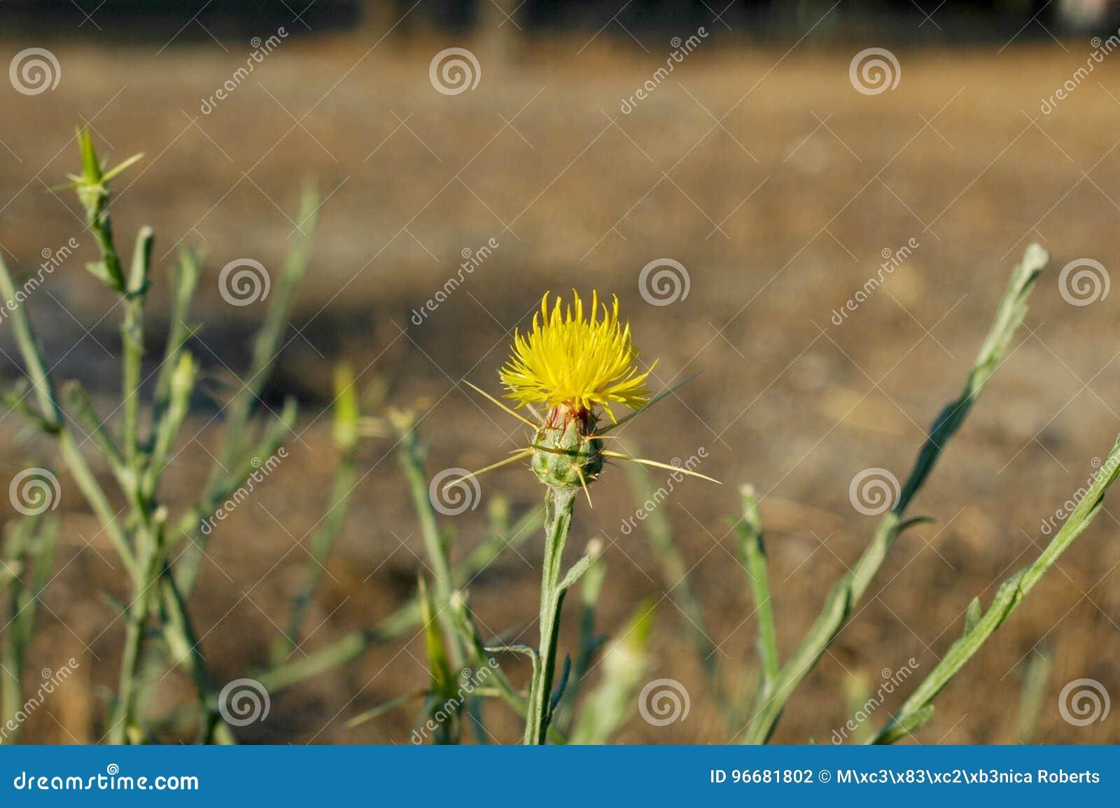 une plante Martin 1er avril trouvée par Jov' %C3%A9toile-chardon-jaune-96681802