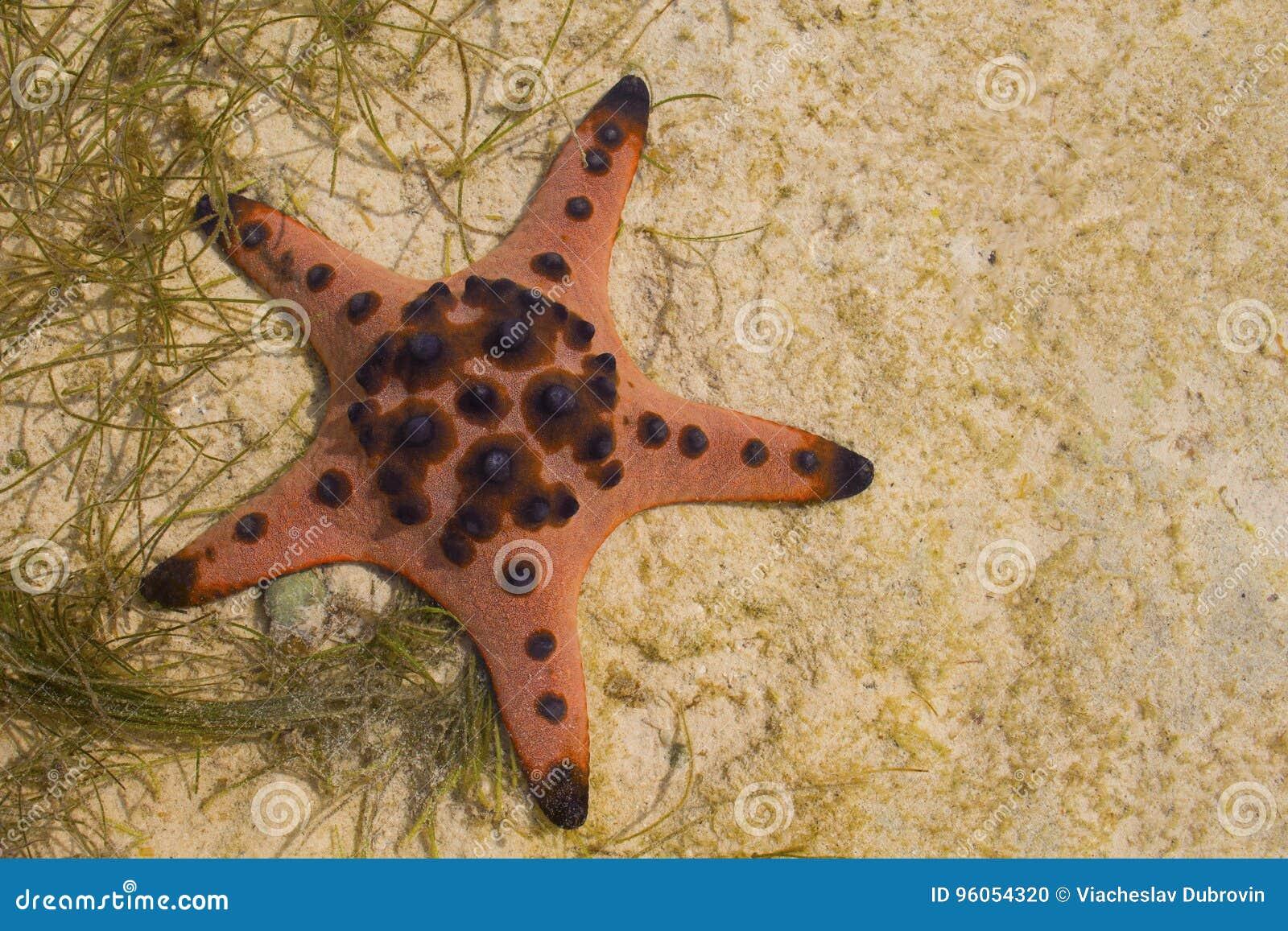 Étoiles de mer rouges d oreiller sur le sable blanc en eau de mer Eau de mer peu profonde pendant la marée basse