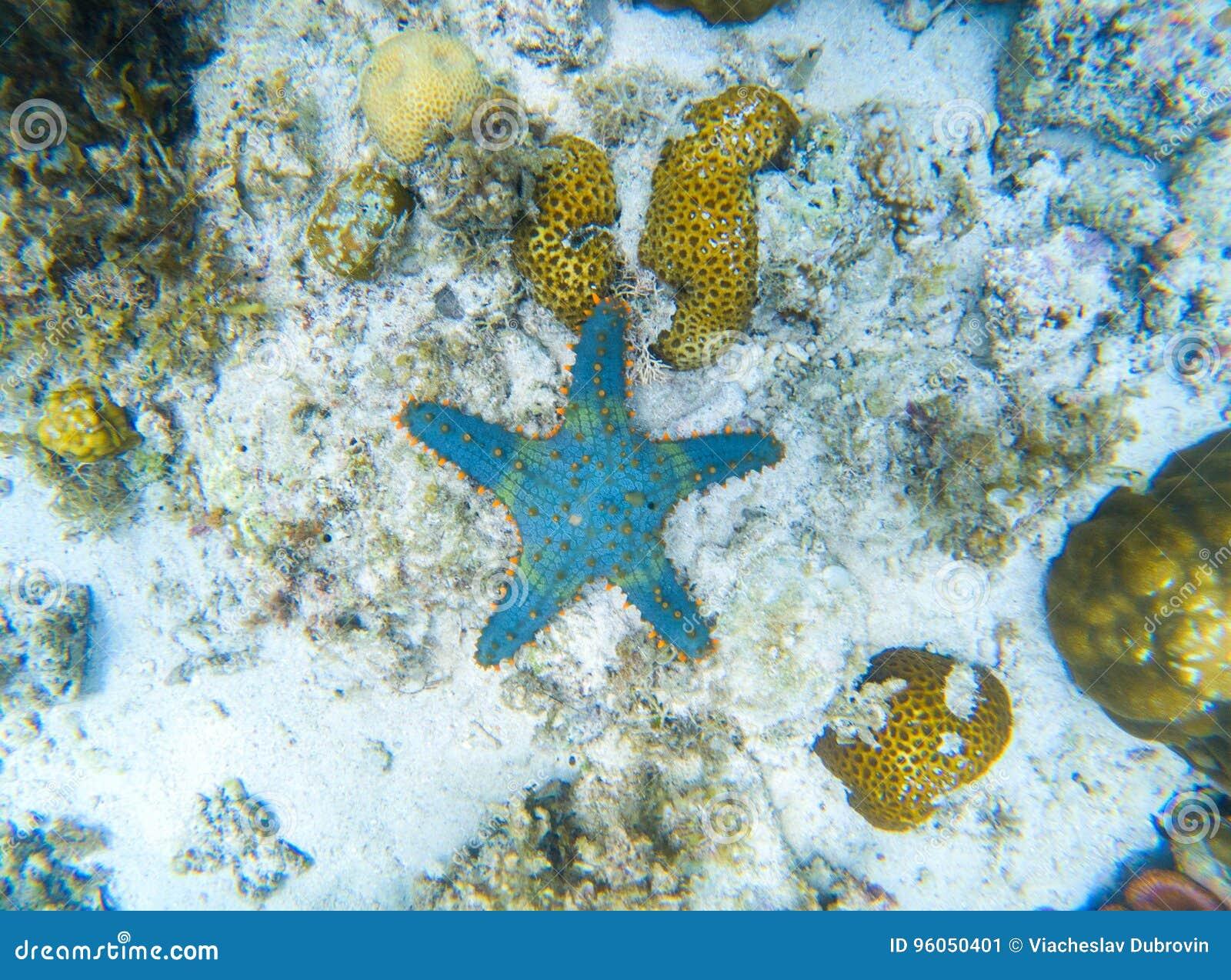 Étoiles de mer sur le seabottom de sable Paysage sous-marin avec des poissons d étoile Poissons tropicaux en nature sauvage