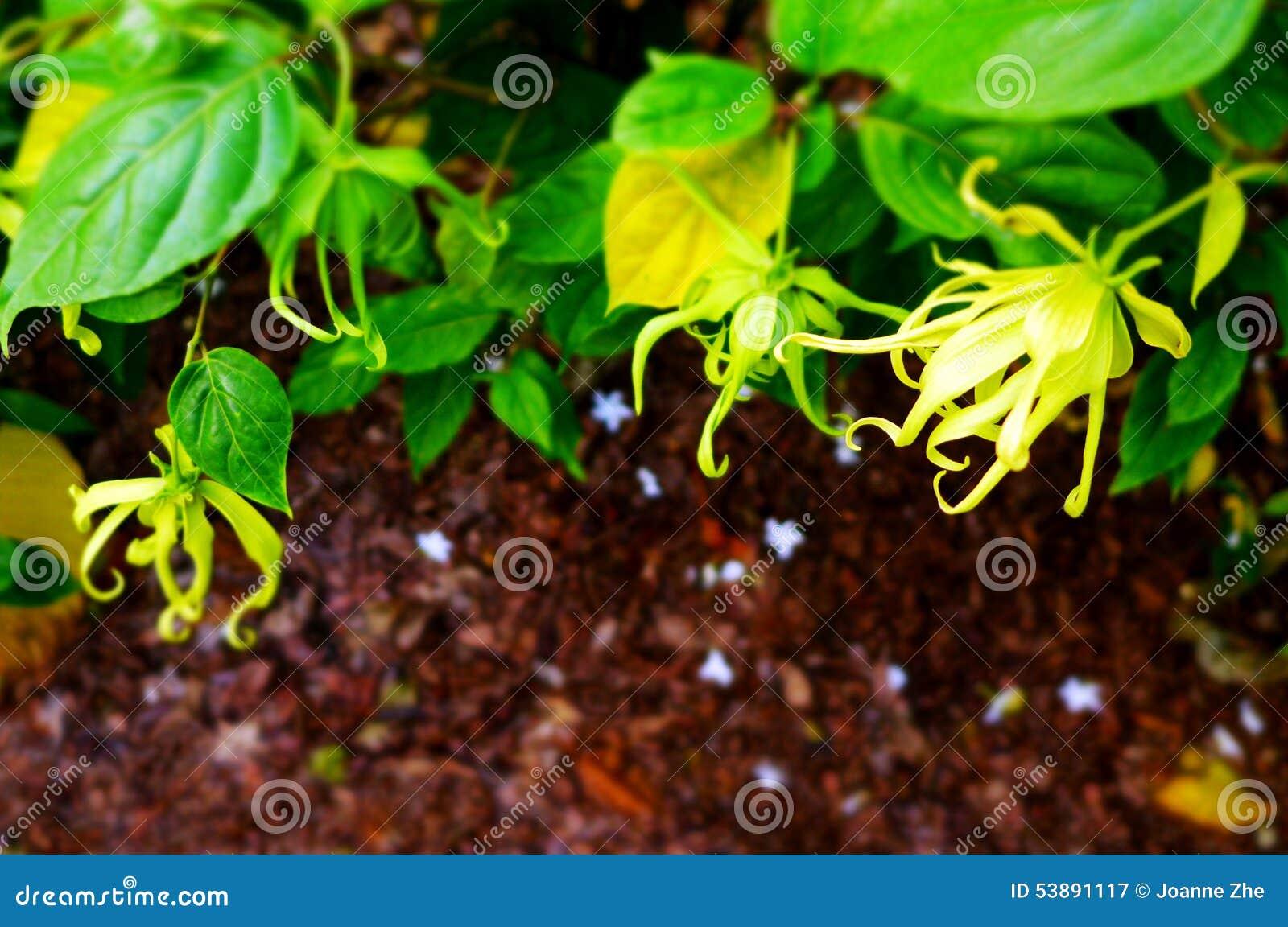Etude Poetique De Plante Et De Fleurs De Ylang Ylang Image Stock
