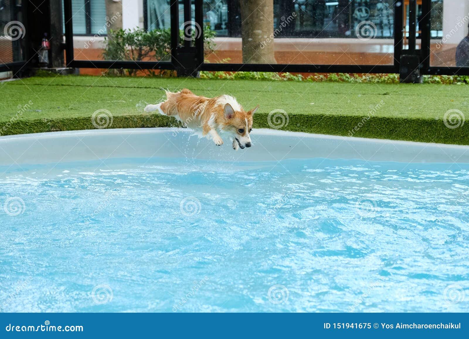 Éxito del perro del corgi Galés para superar el miedo del salto en piscina el fin de semana del verano Los perritos del Corgi son