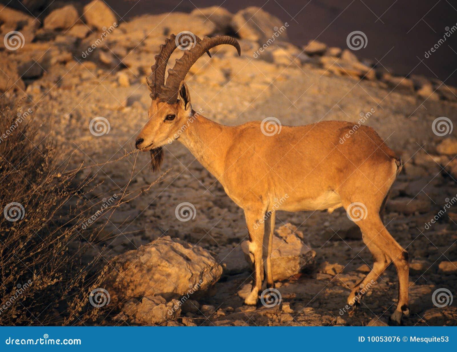 Íbex de Nubian