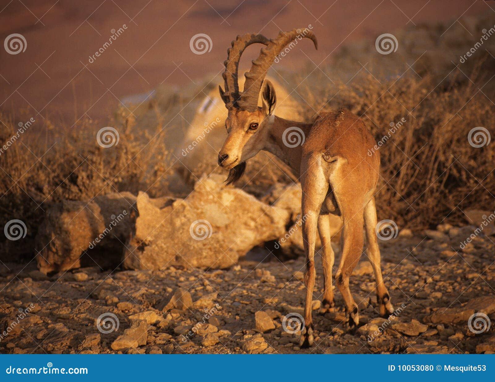 Íbex de Nubian em Israel