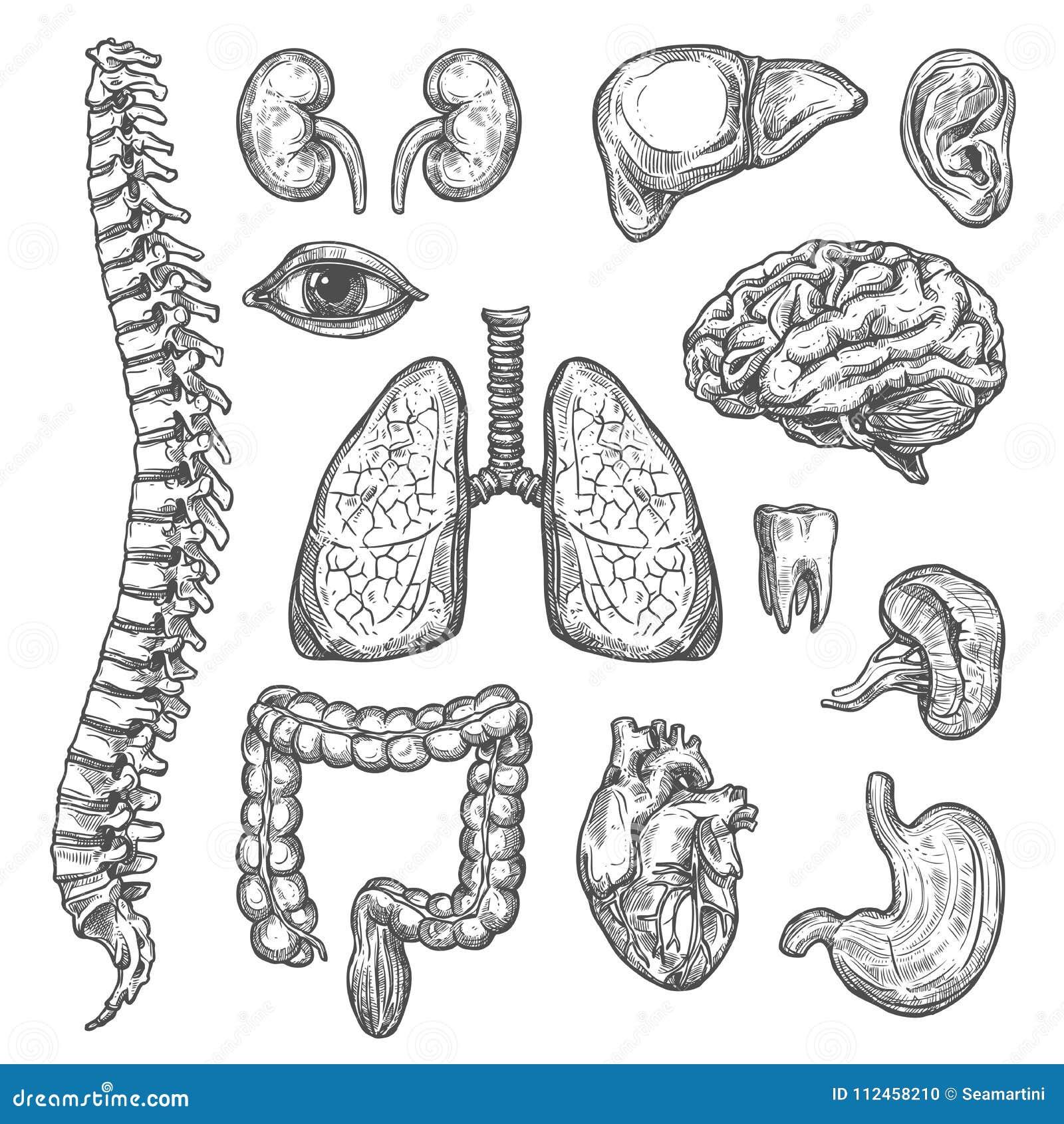 Ícones da anatomia do corpo do esboço do vetor dos órgãos humanos
