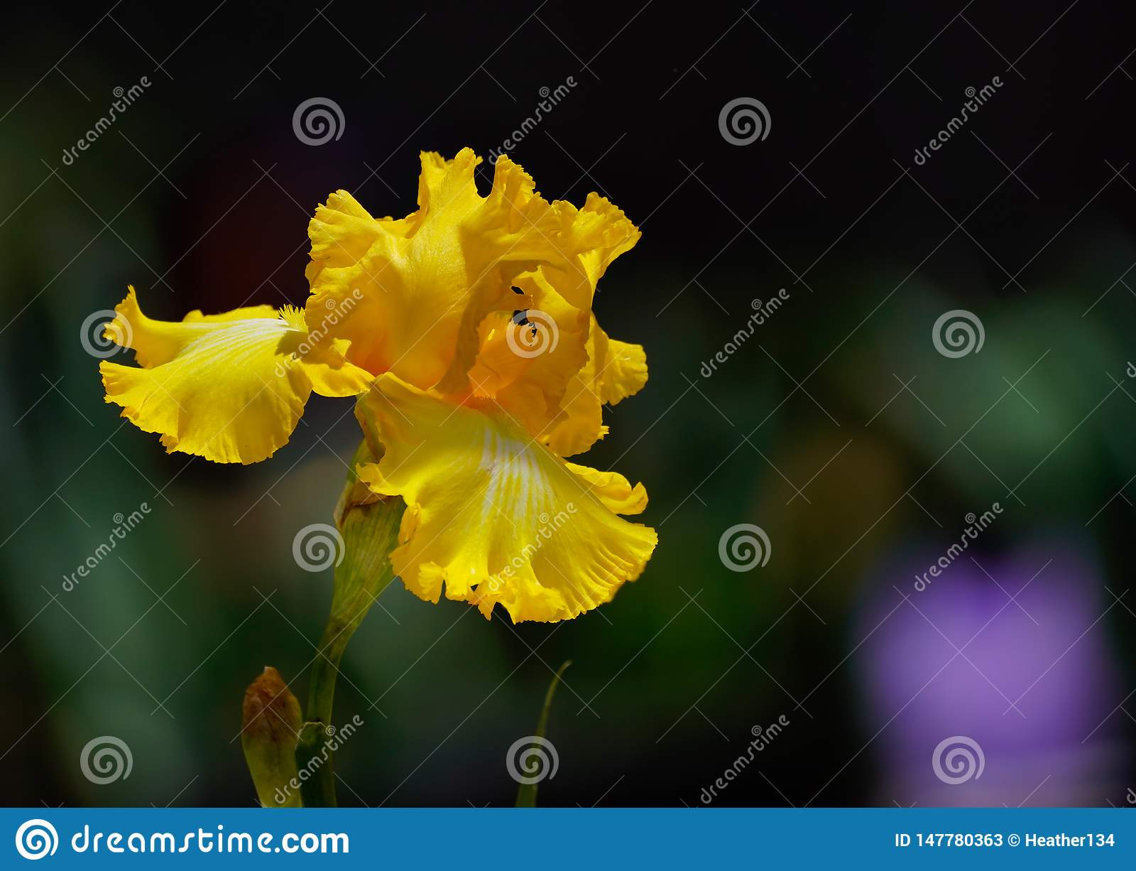 A íris amarela surpreendente da natureza na flor