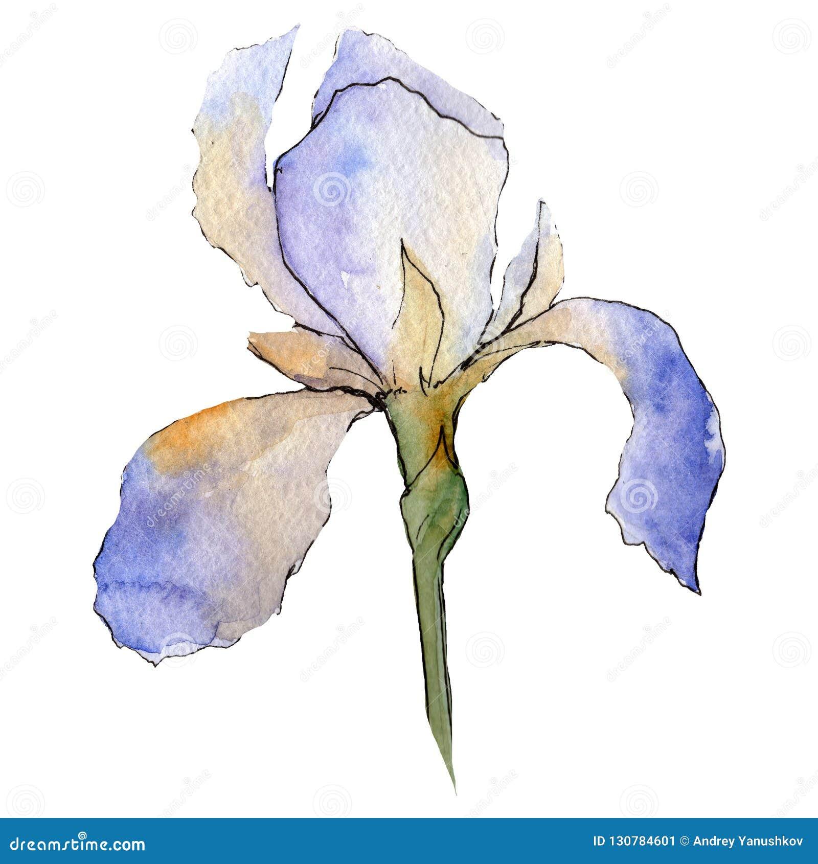 Íris roxa Flor botânica floral O aquarelle do desenho do Watercolour isolou-se Elemento isolado da ilustração da íris