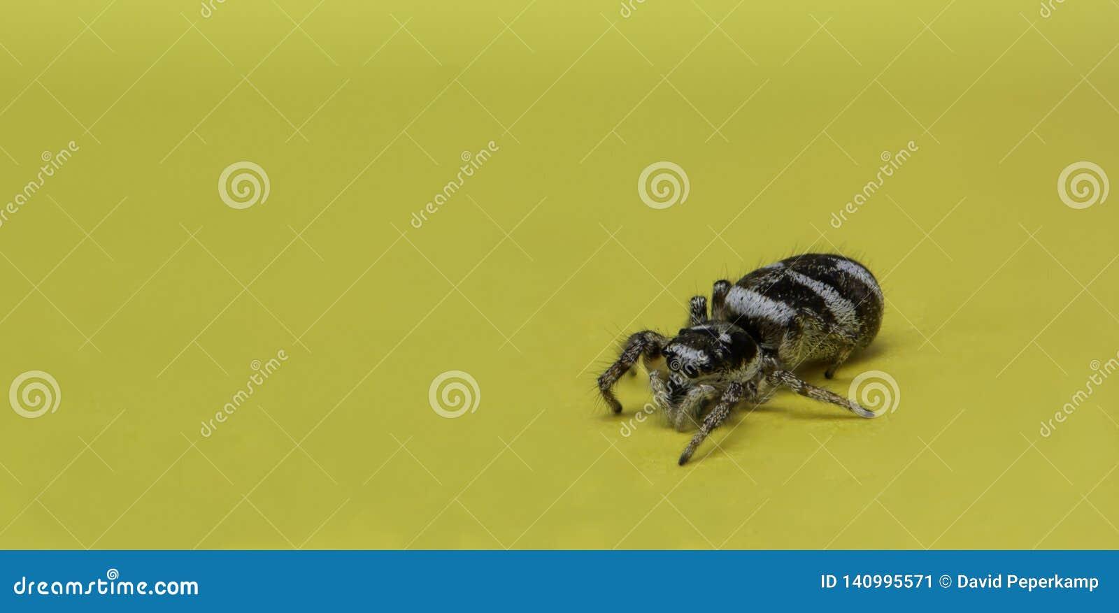 Άλμα της αράχνης σε μια κίτρινη σημείωση υπομνημάτων, μακρο φωτογραφία