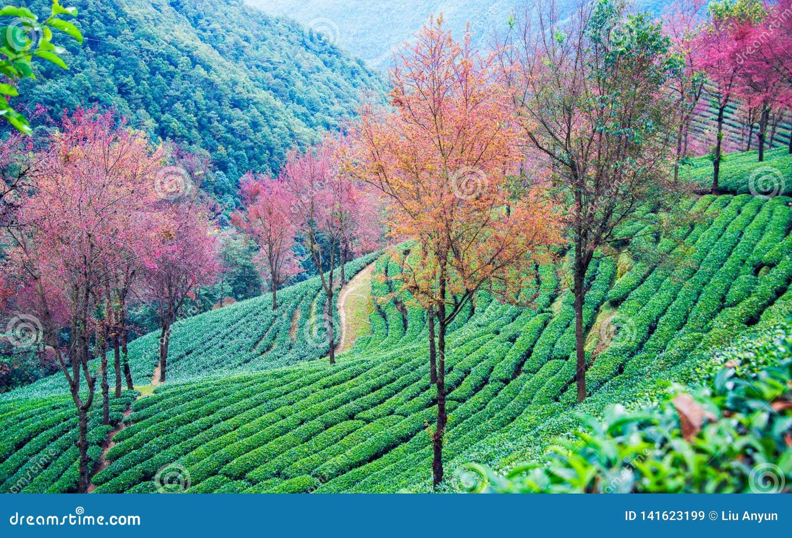 Άνθη κήπων και κερασιών τσαγιού σε wulishan